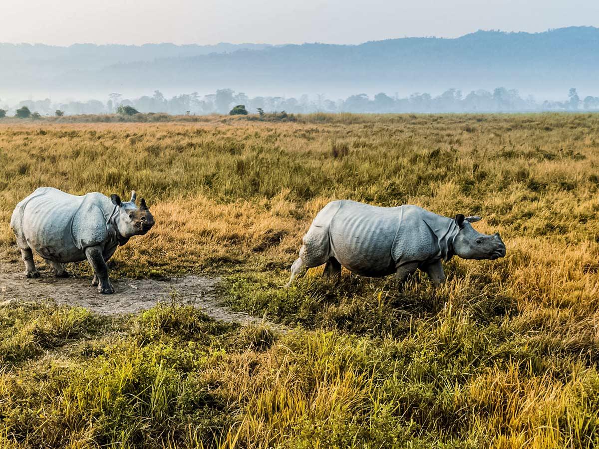 Rhinos in Kaziranga National Park North East India