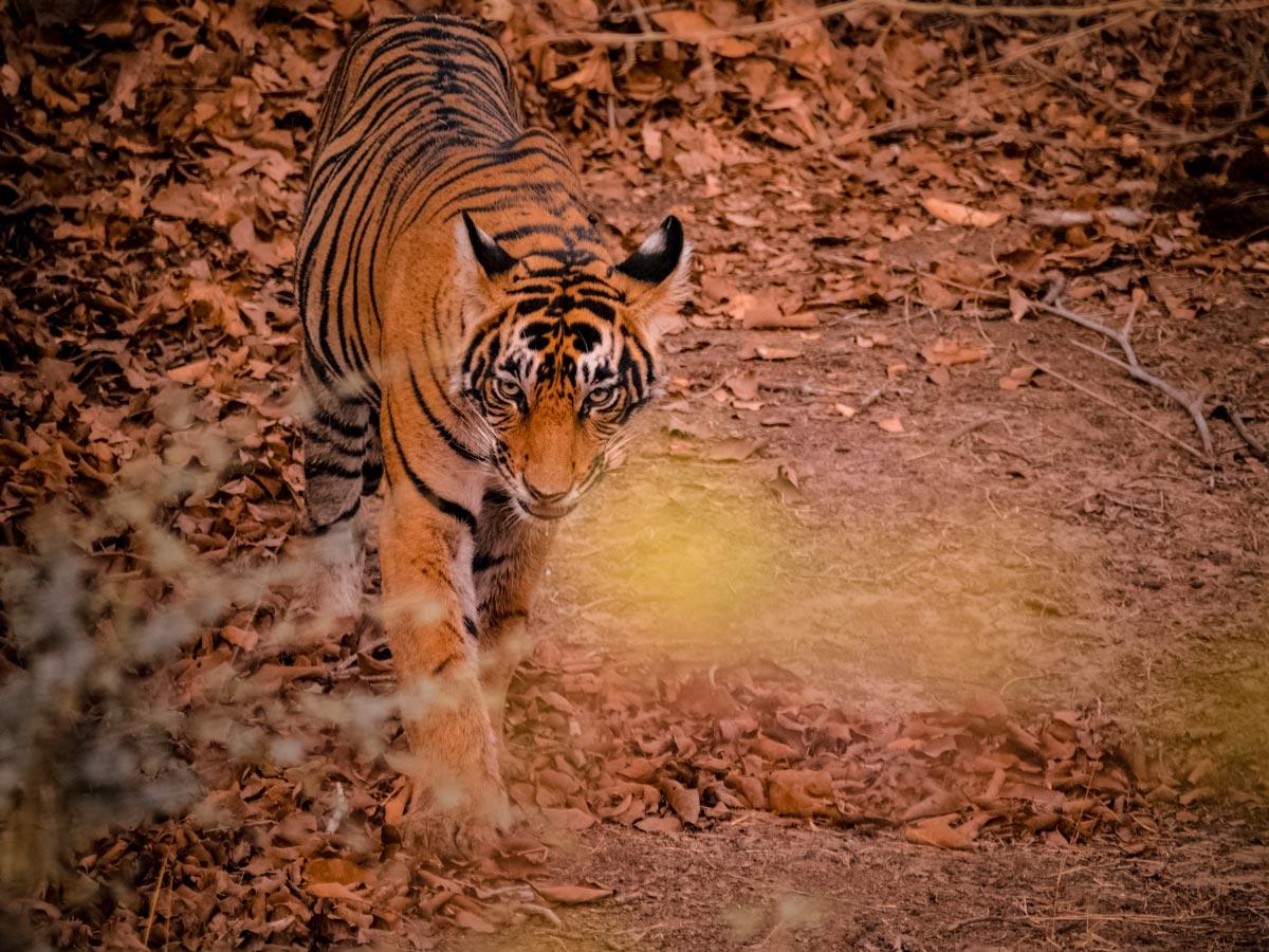 Ranthambore National Park wildlife bengal tiger Rajasthan India