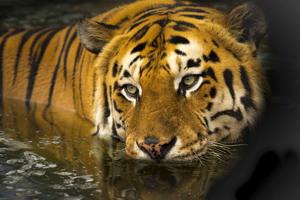 Tiger Trail Safari Tour