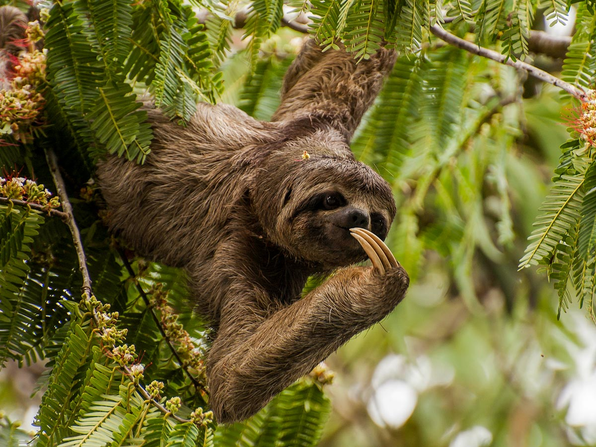 Three toed sloth in the Amazon rainforest jungle see on birding expedition