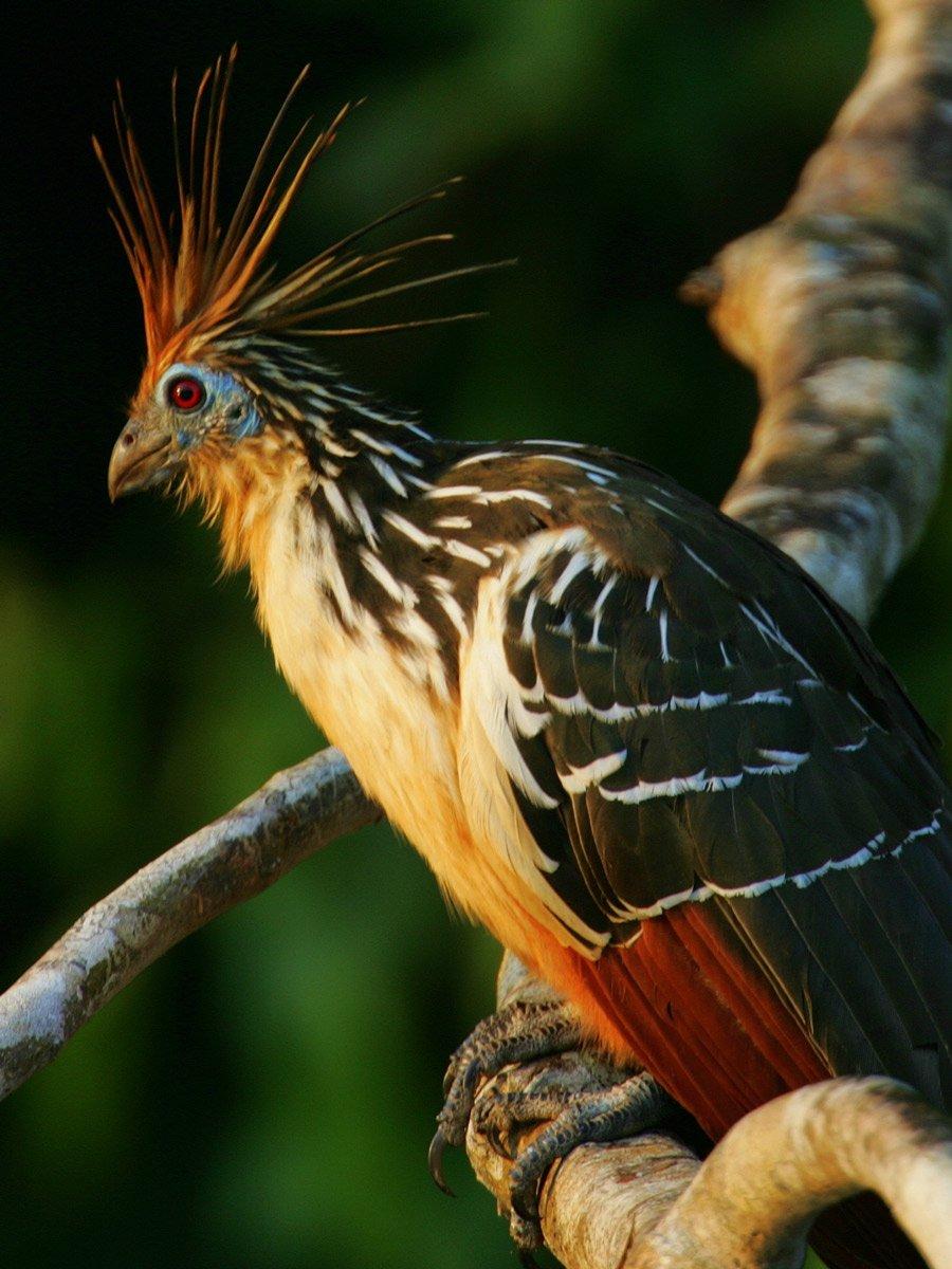 Hoatzin reptile Bird spotted birding expedition Peru