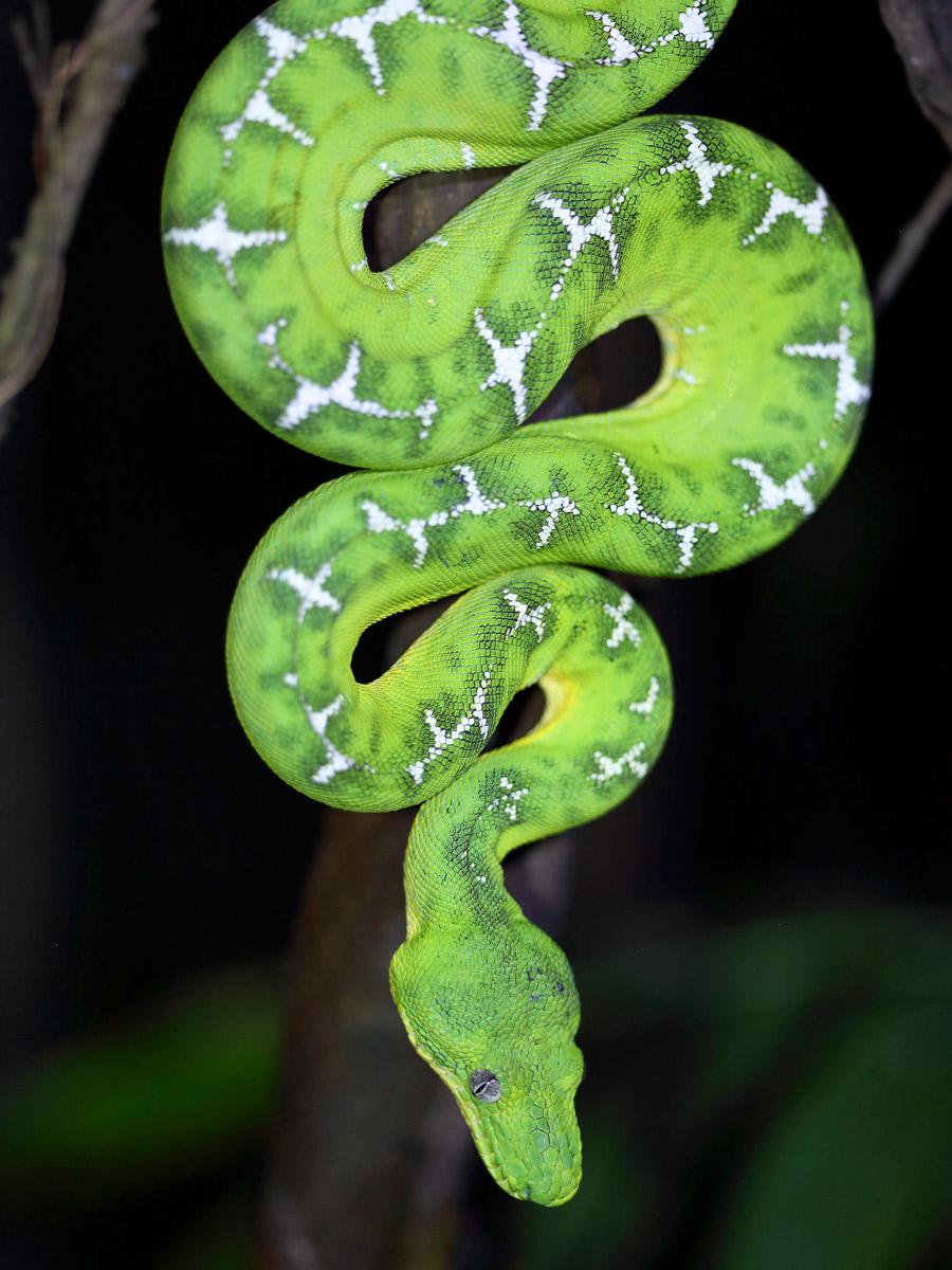 Emerald Tree Boa snake spotted birding expedition Peru