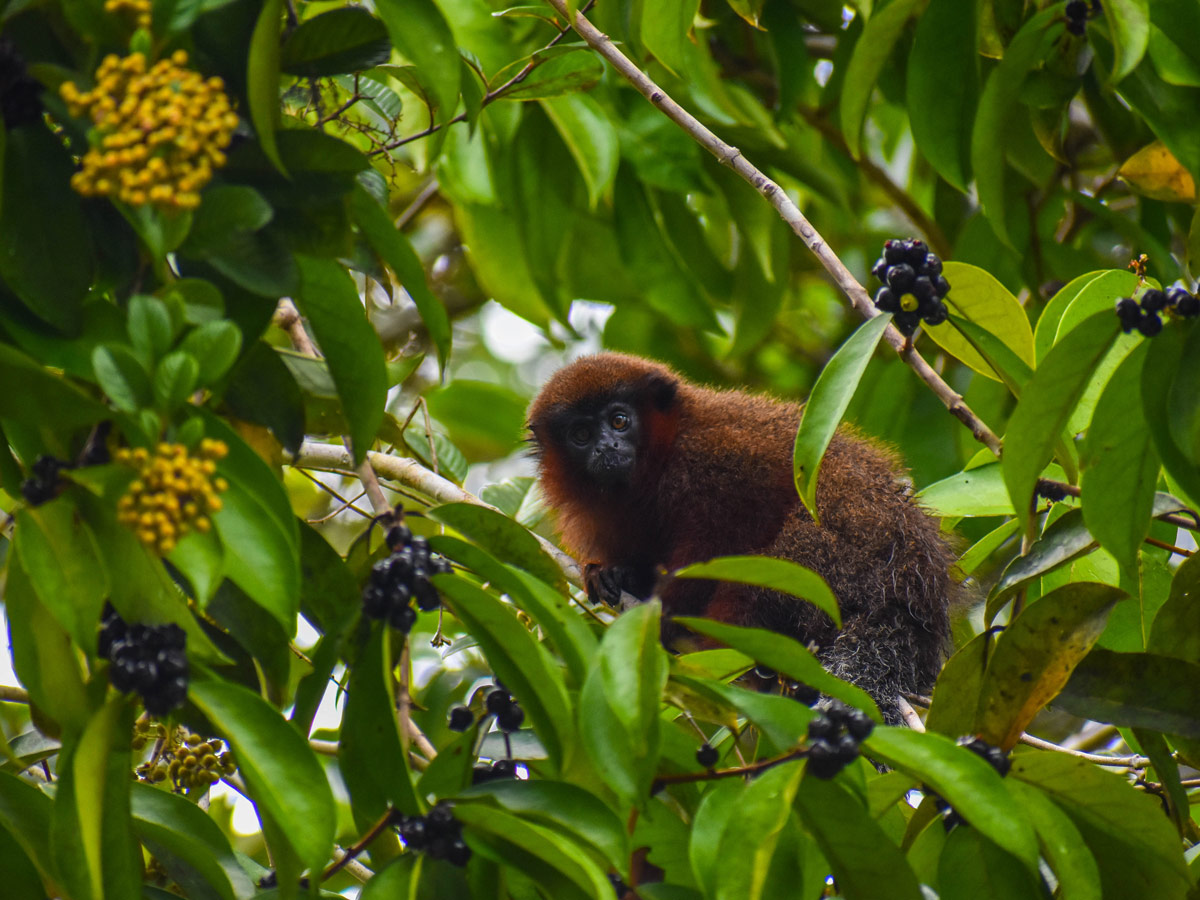 Monkey in the tree spotted along birding expedition Amazon Peru