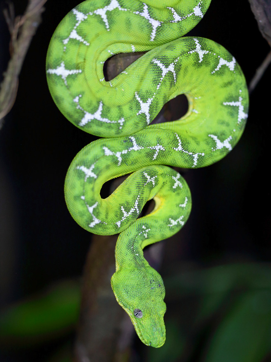 Amazon wildlife Emerald Tree Boa camping expedition Peru