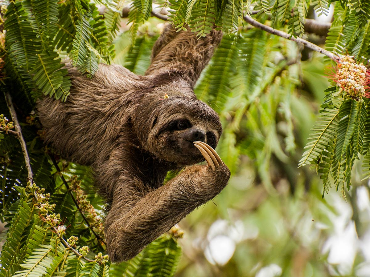 Three toed sloth camping expedition Peru
