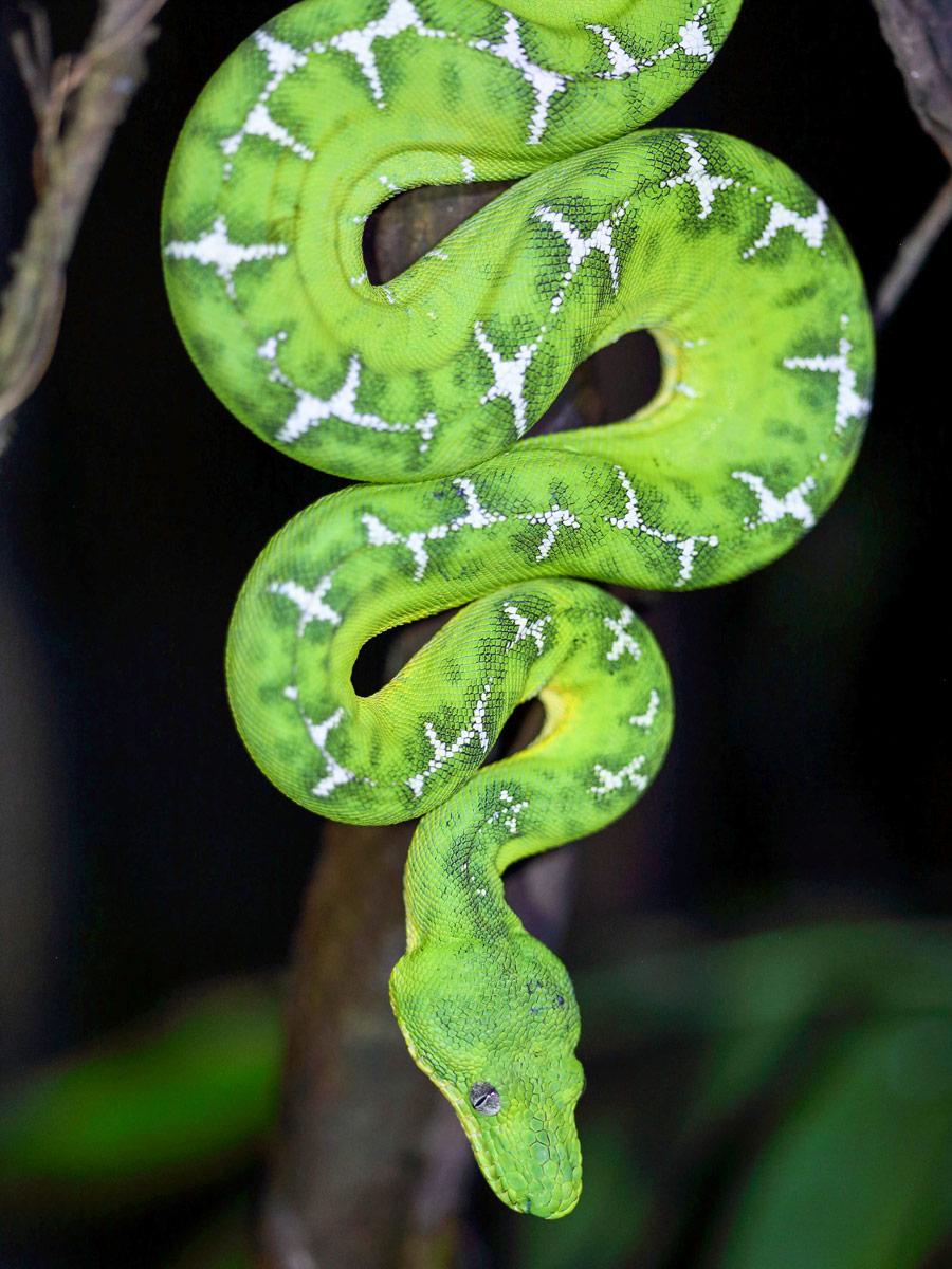 Peruvian Amazonia Emerald Tree Boa fishing expedition Peru