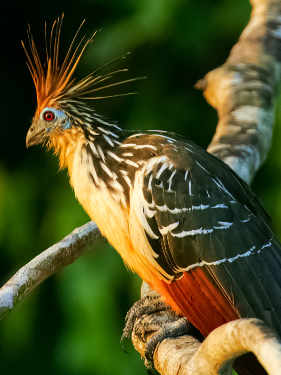 Peruvian Amazonia Hoatzin bird fishing expedition Peru