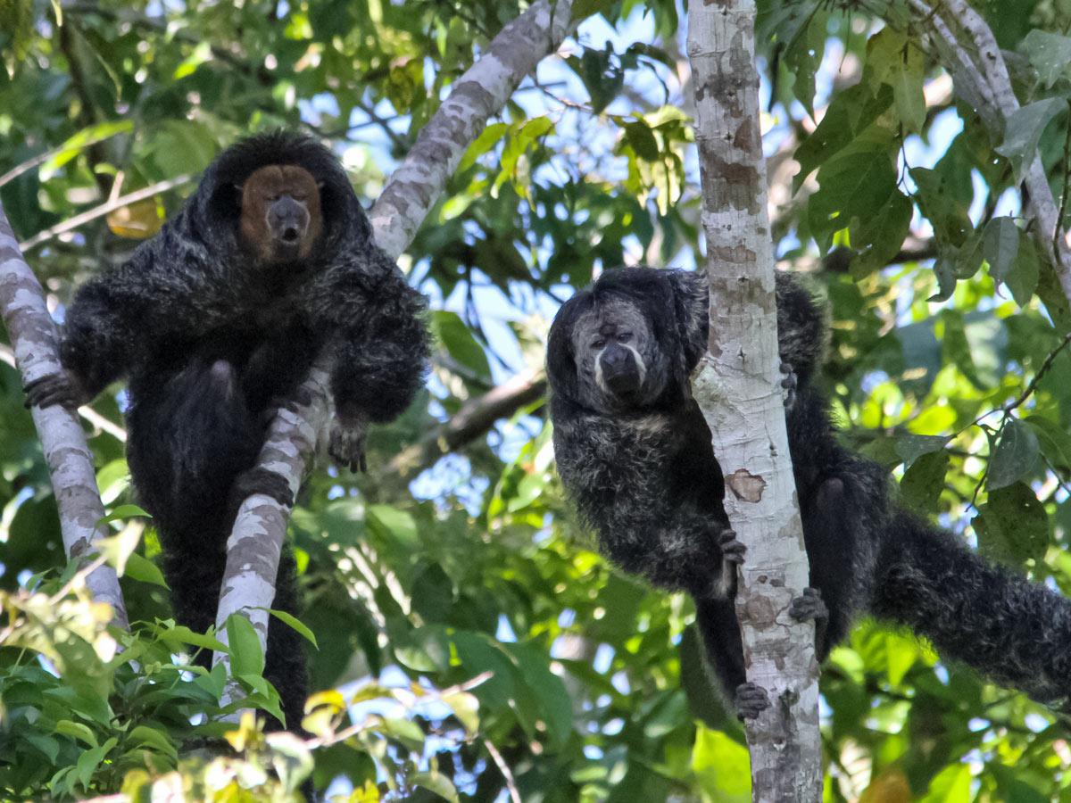 Peruvian Amazonia wildlife Saki Monkeys seen along fishing expedition Peru