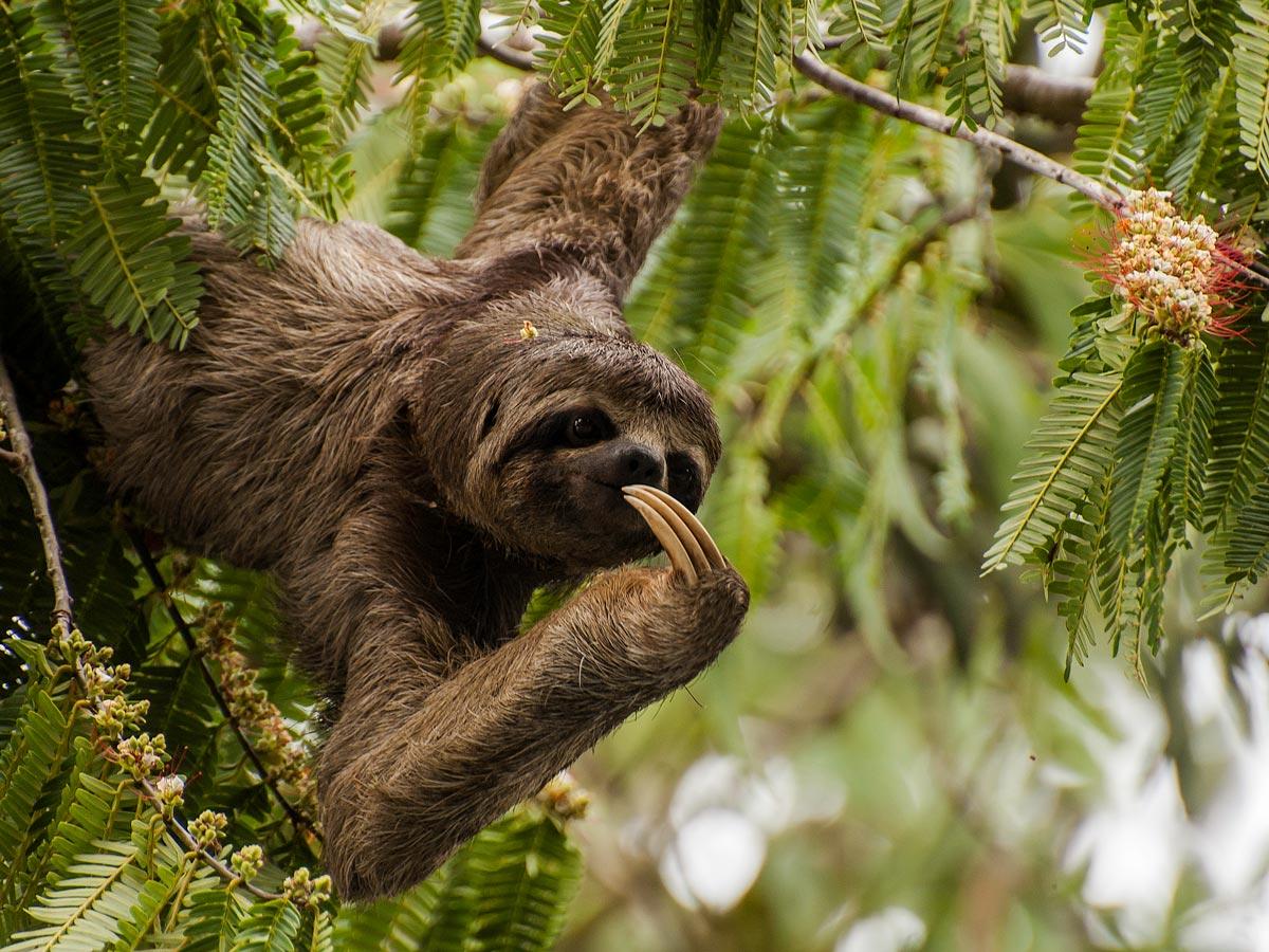 Peruvian Amazonia wildlife Three toed sloth seen along fishing expedition Peru