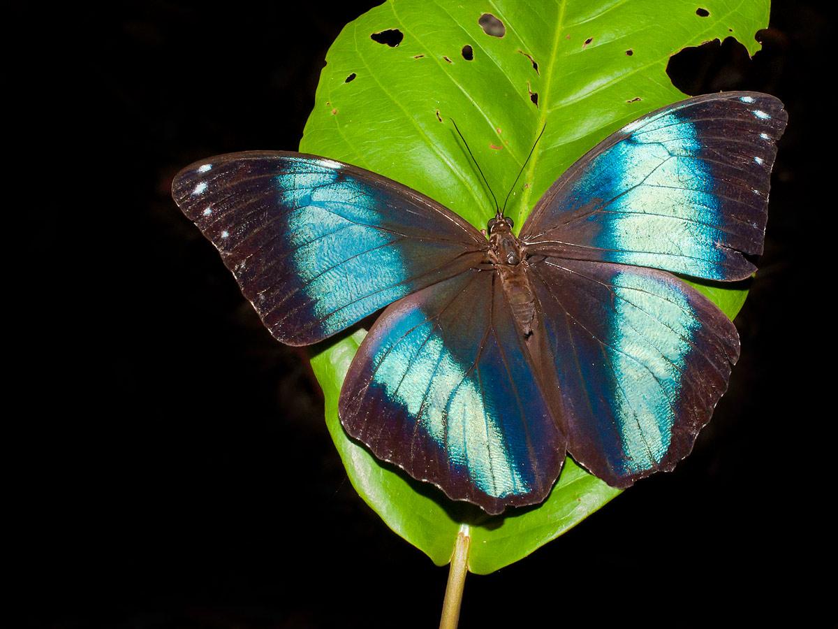 Amazon general tour wildlife Blue morpho butterfly Peru