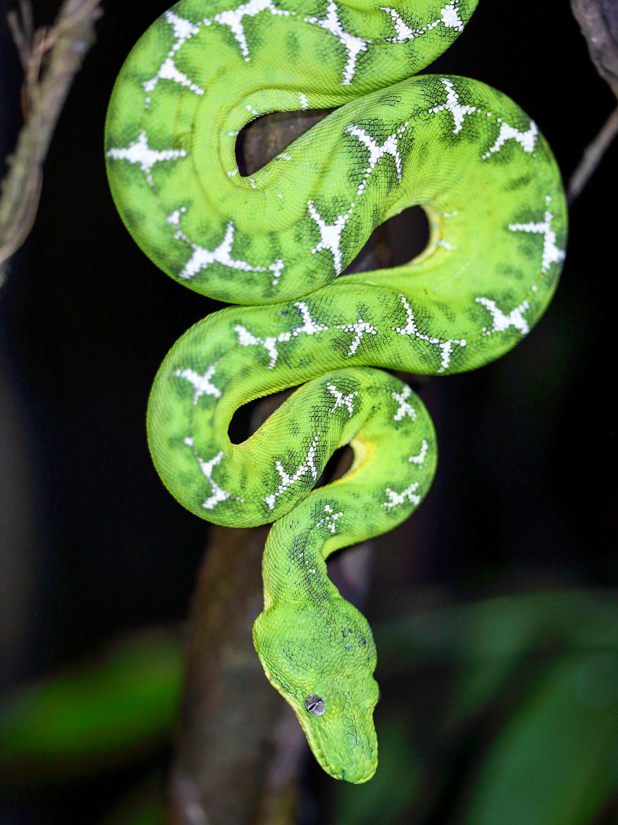 Amazon general tour wildlife Emerald Tree Boa snake Peru