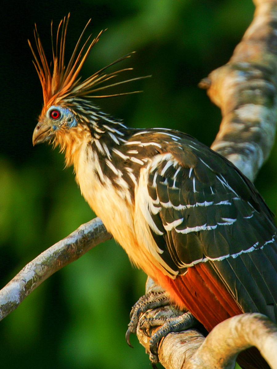 Amazon general tour wildlife Hoatzin bird Peru