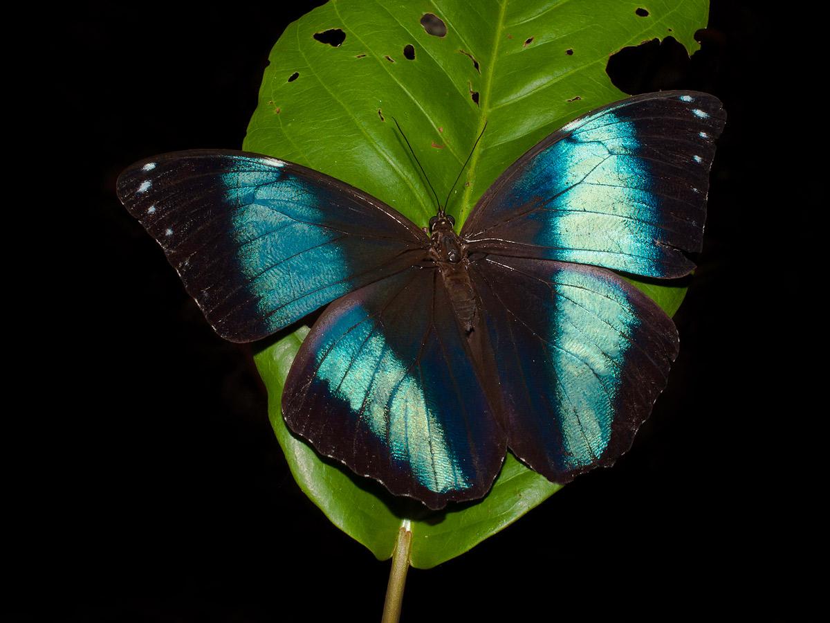 Peruvian Amazonia research Blue morpho butterfly Peru