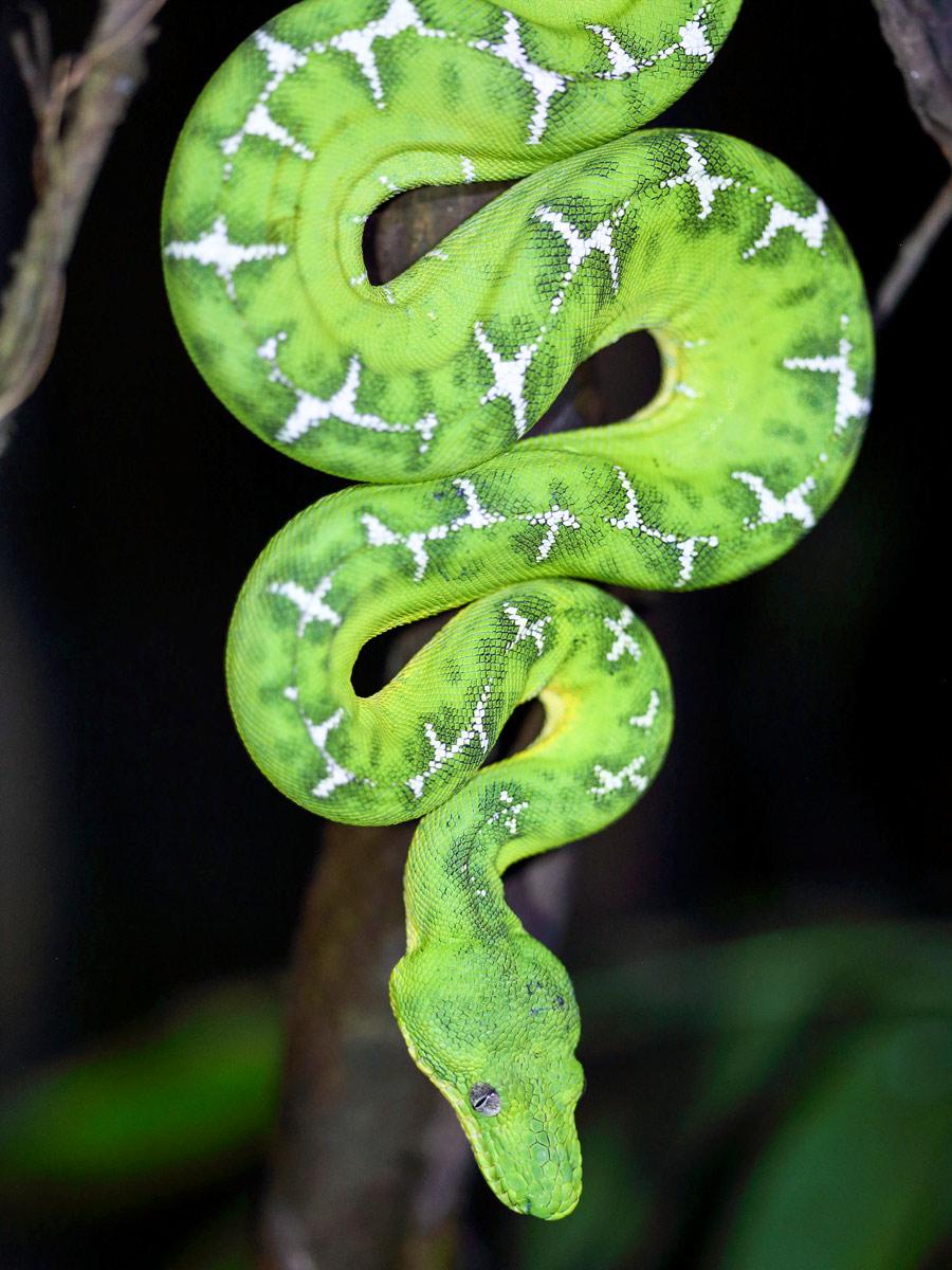 Peruvian Amazonia research Emerald Tree Boa snake Peru