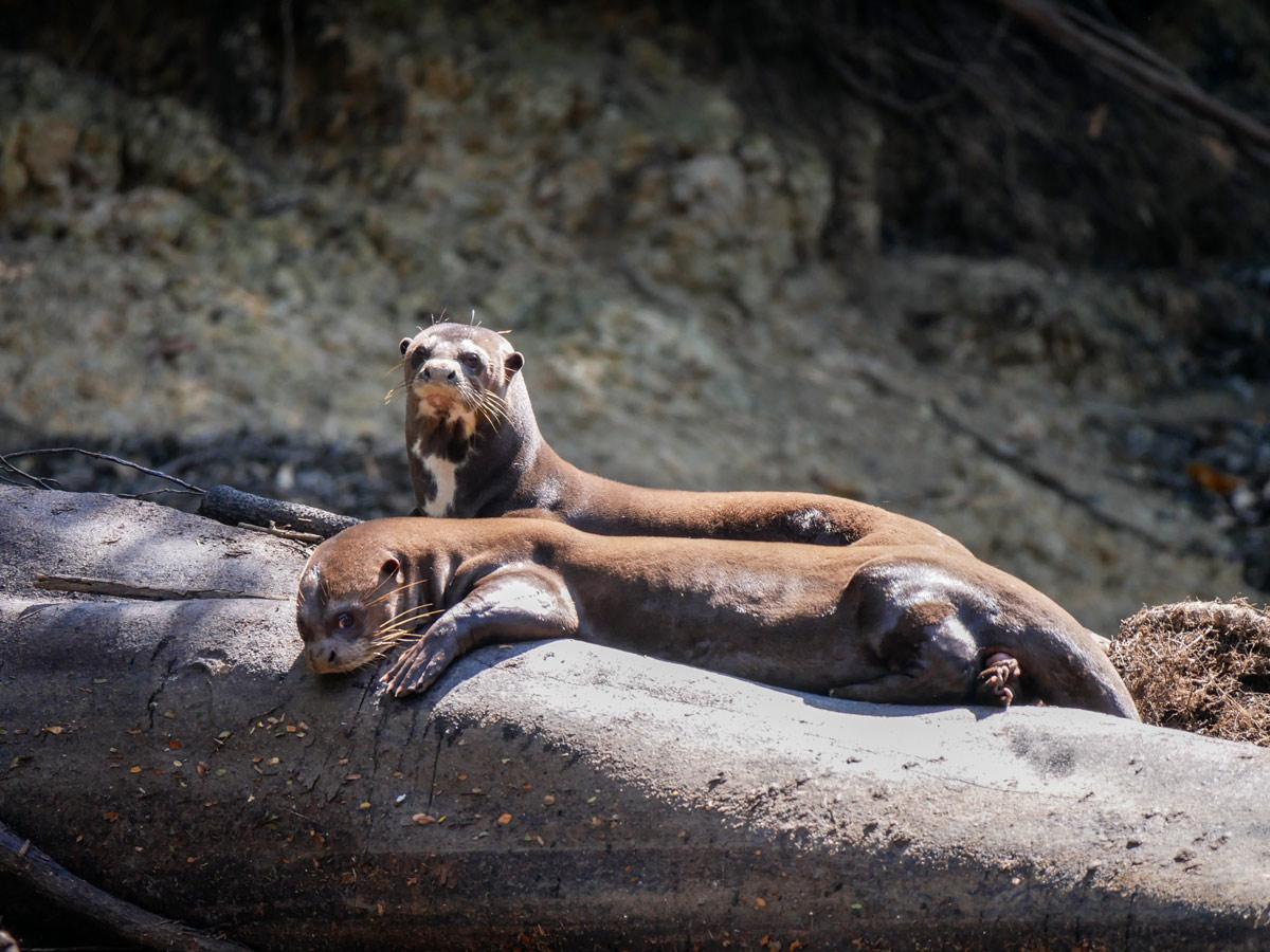 Peruvian Amazonia research Giant River Otters Peru
