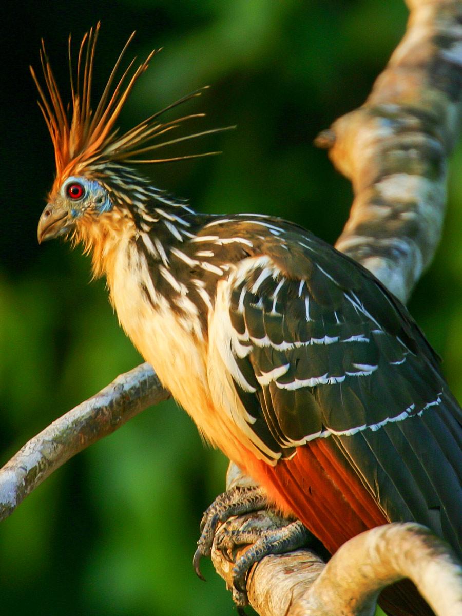 Peruvian Amazonia research Hoatzin bird Peru