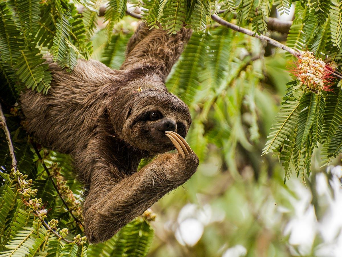 Peruvian Amazonia research Three toed sloth wildlife Peru