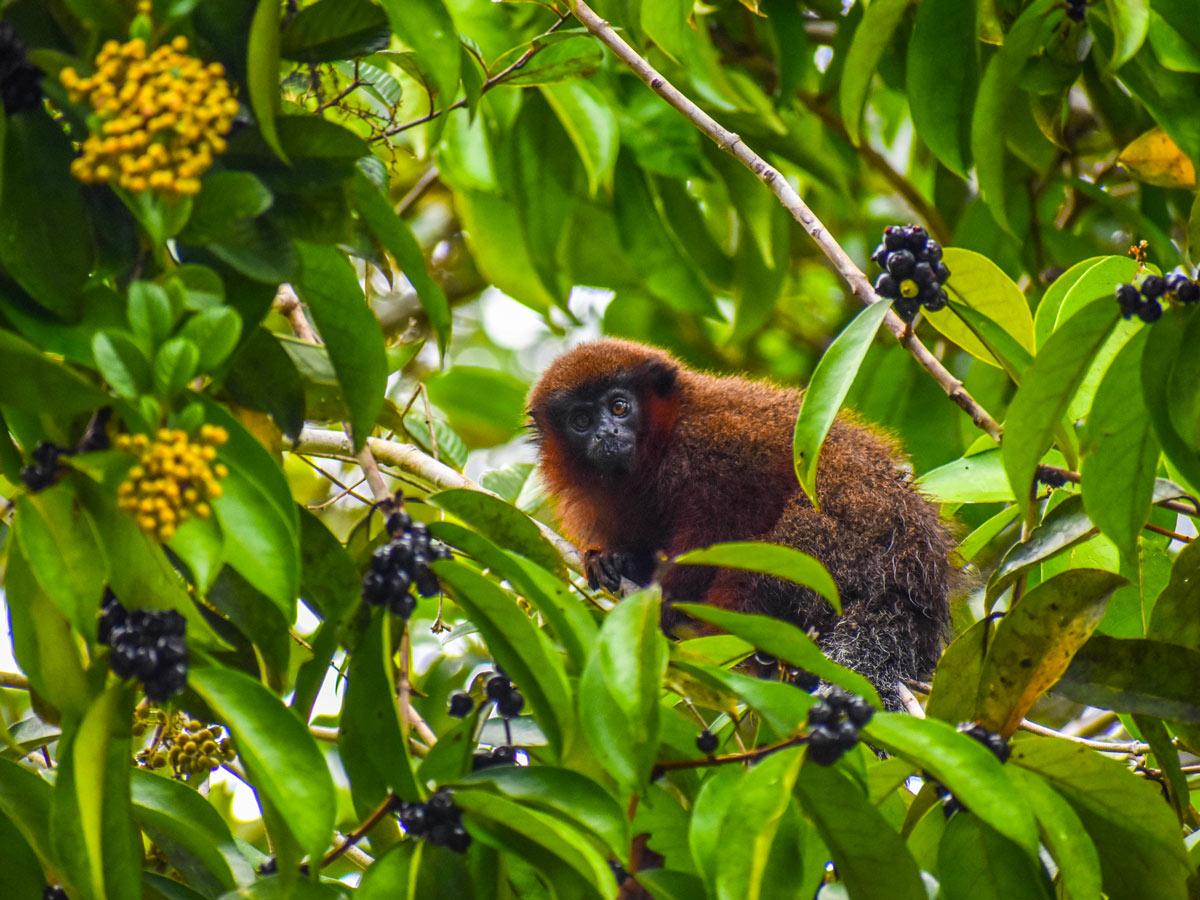 Peru Amazonia rainforest wildlife monkey along survival training expedition