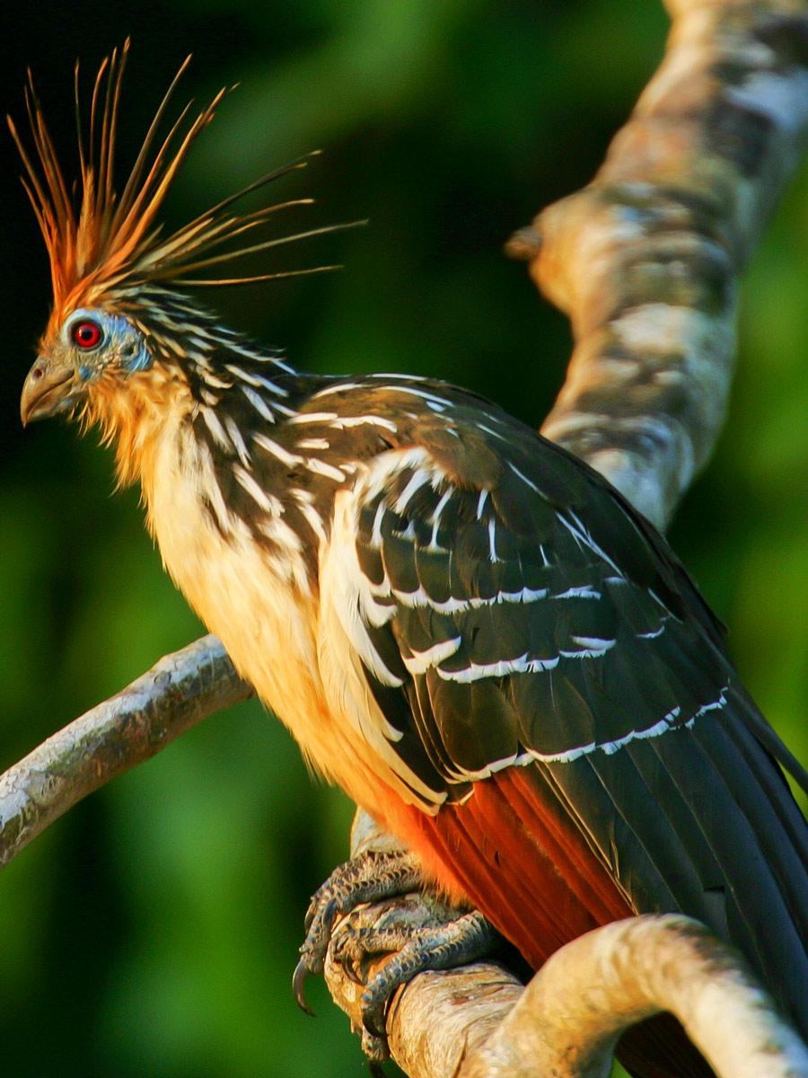 Hoatzin bird Peru Amazonia survival training expedition