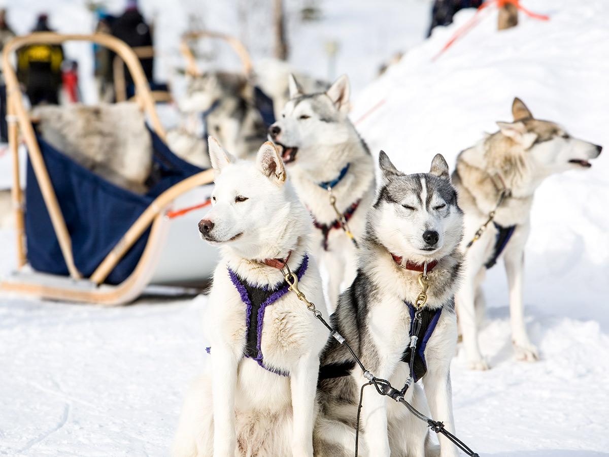 Four sledge dogs on Karelia multi sport tour in Russia