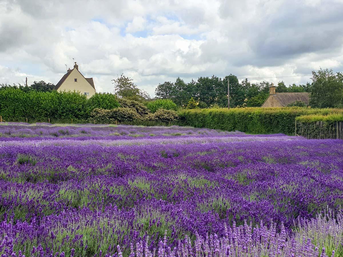Cotswold England flower lavendar fields
