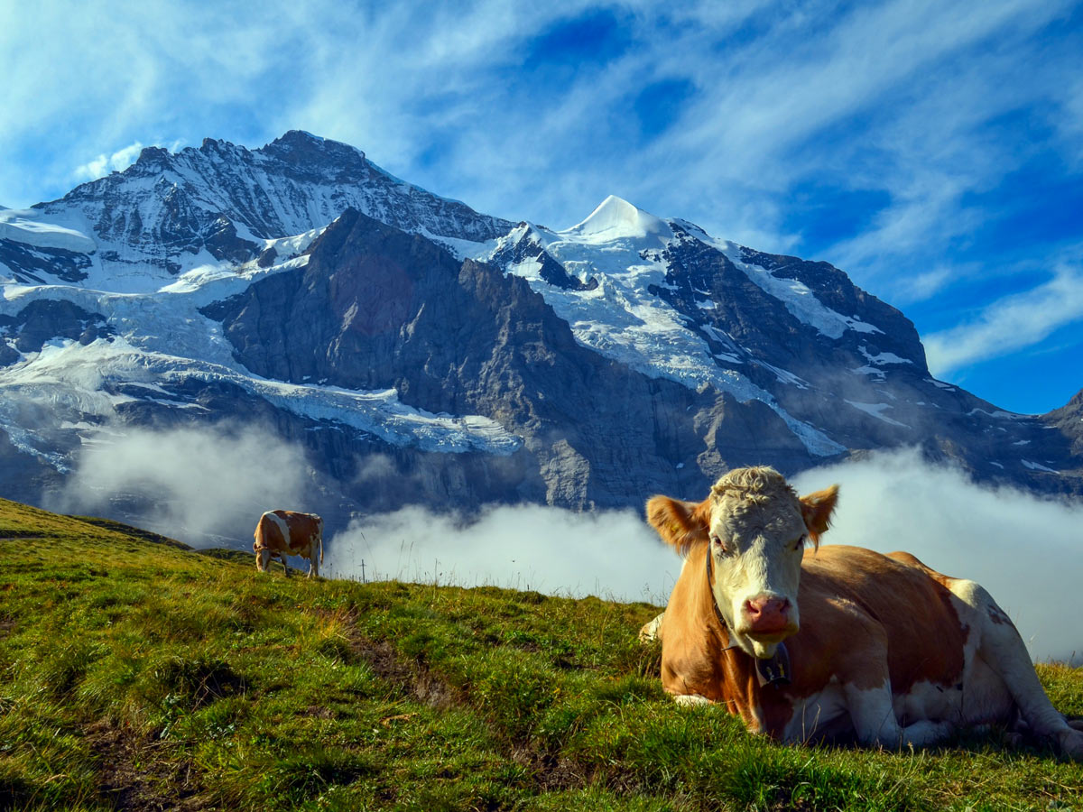 Cows in the pasture Grindelwald hiking Swiss Alps Italy