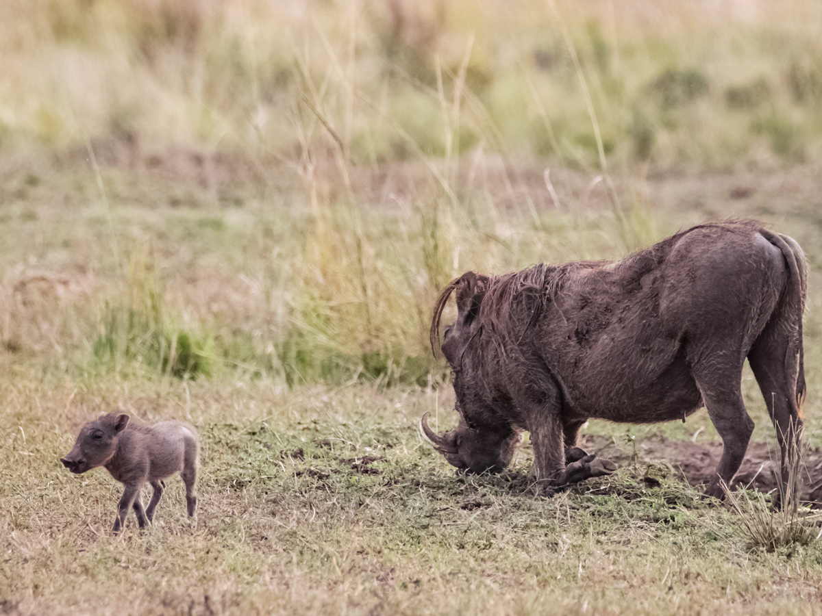 Mother and baby wild warthogs near Mount Meru hiking in Tanzania