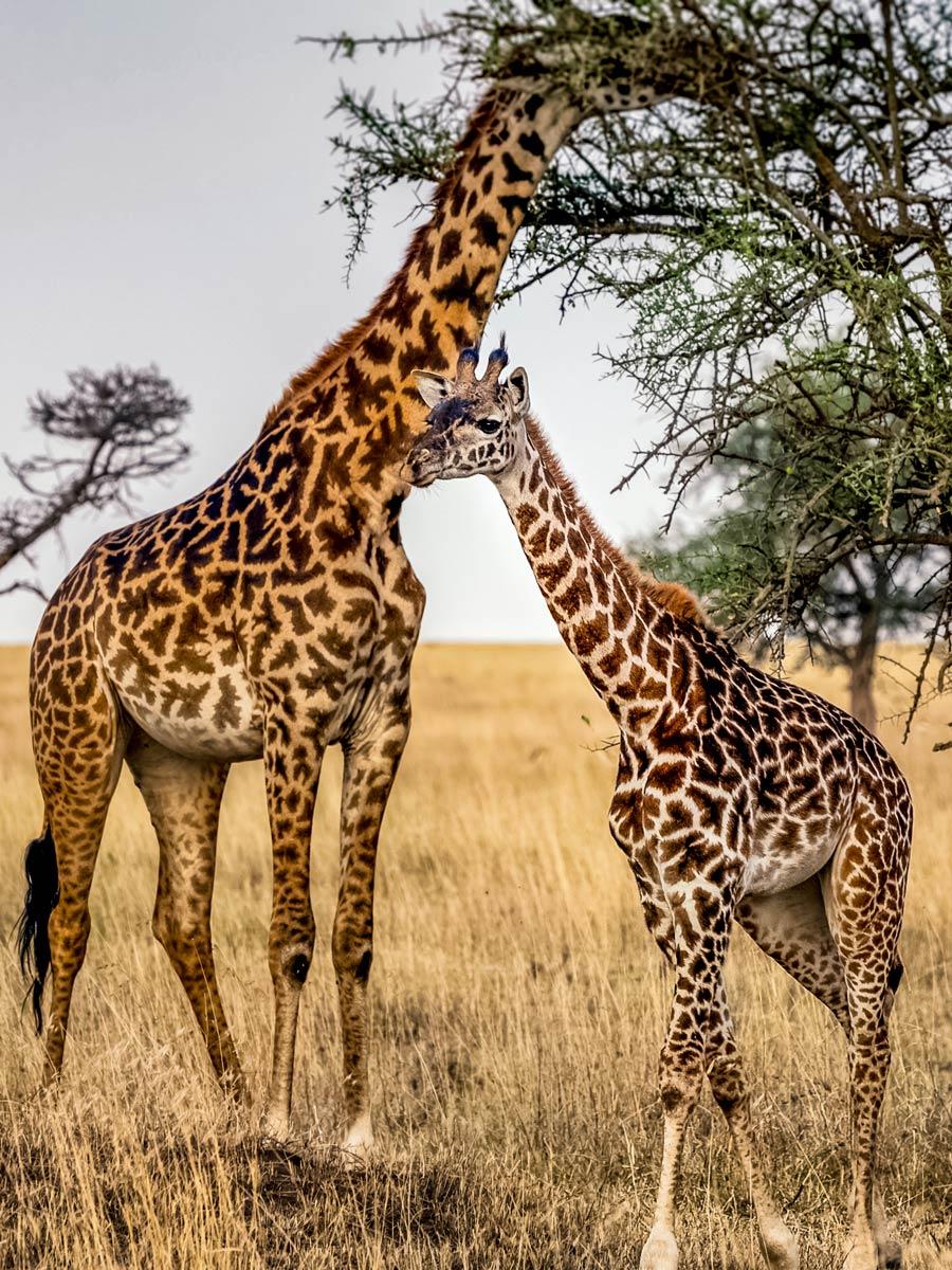 Wild Giraffes in savannah near Mount Meru hiking in Tanzania