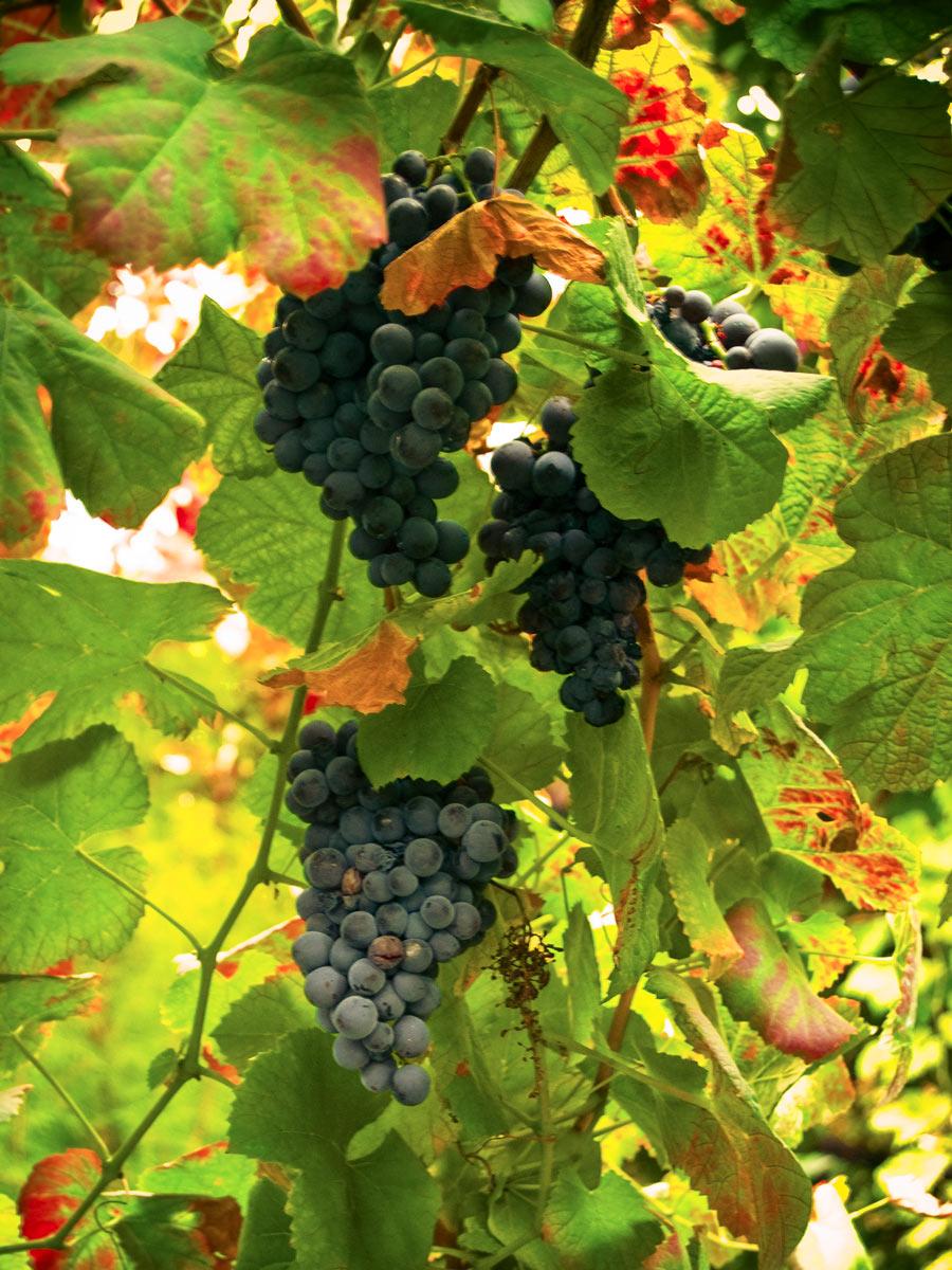Winery vineyard vino grapes