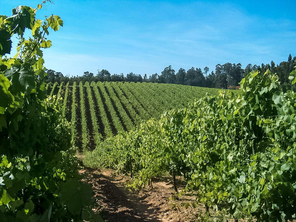 Monção vineyard fields