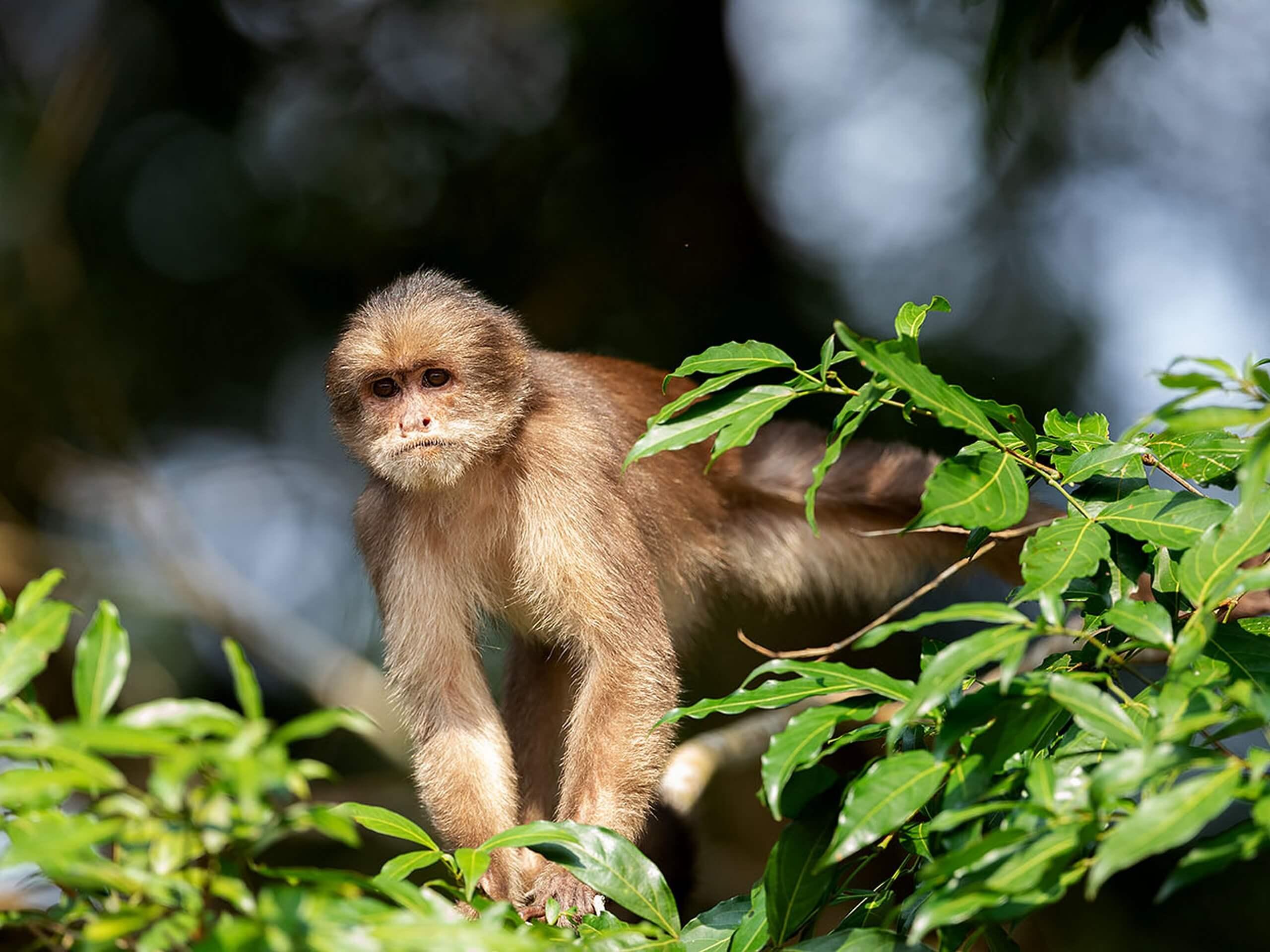 Small monkey (Ecuador)