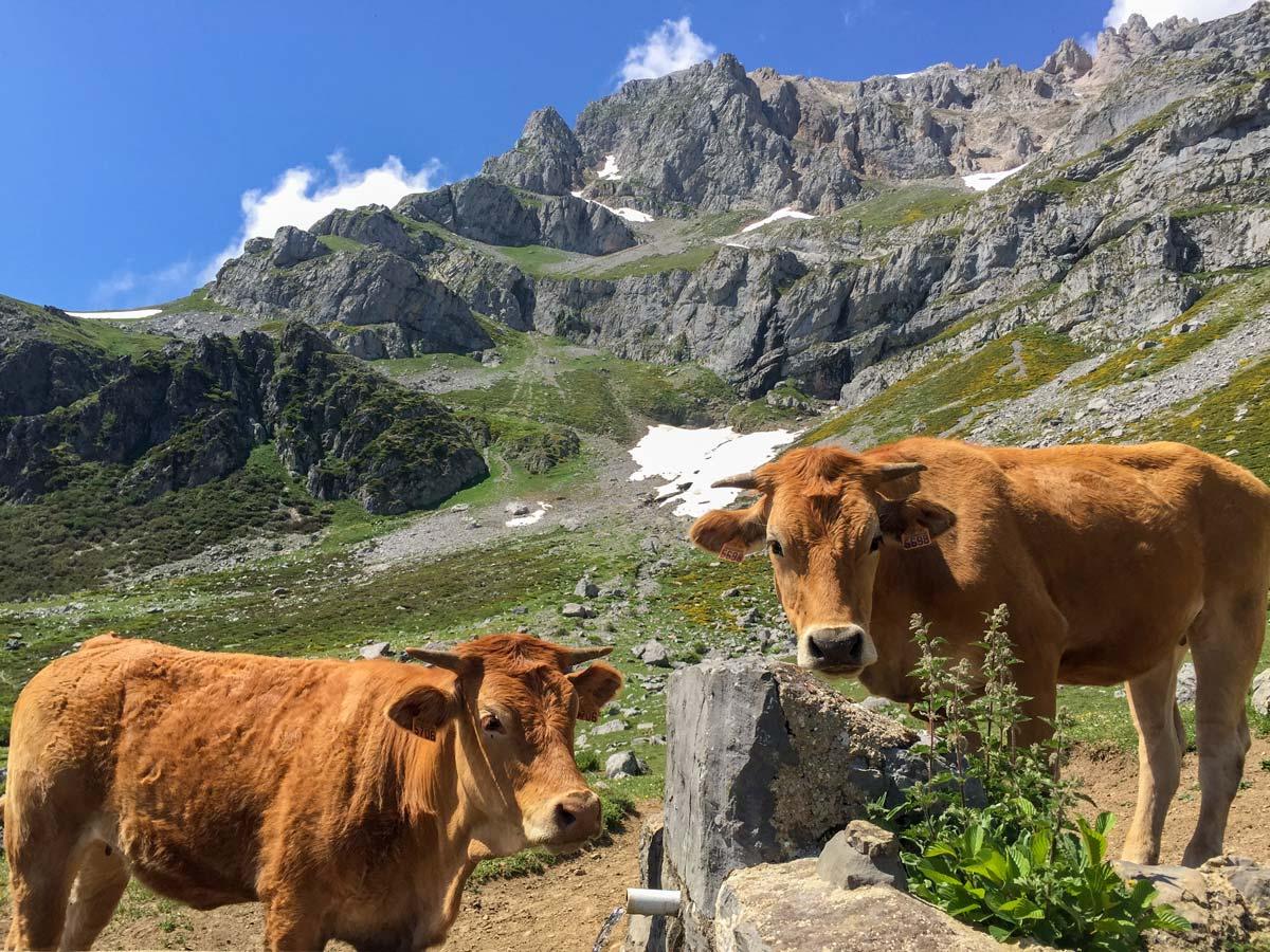 Cows in vega de llos