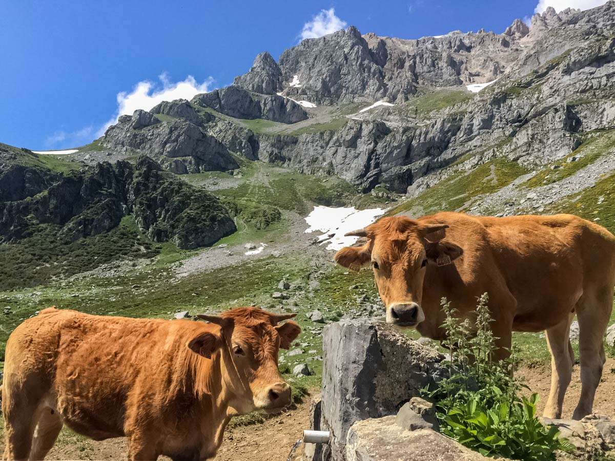 Cows in vega de llos mountain pastures