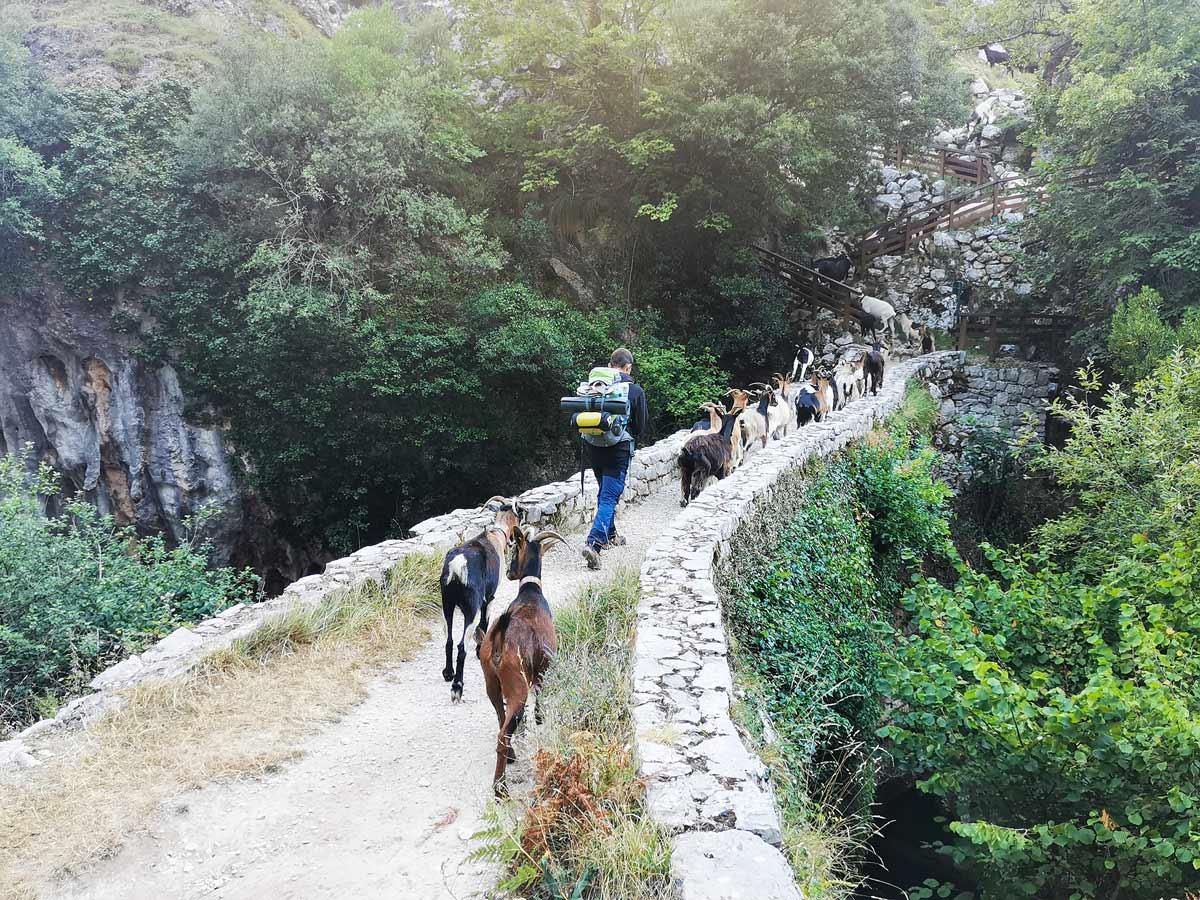Goat herding over bridge