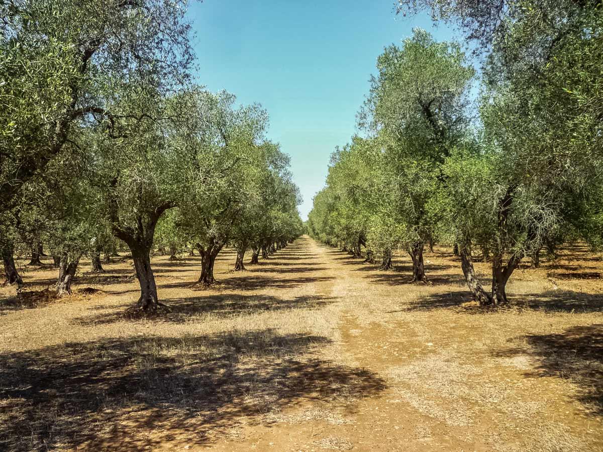 Puglia Olive grove trees orchard
