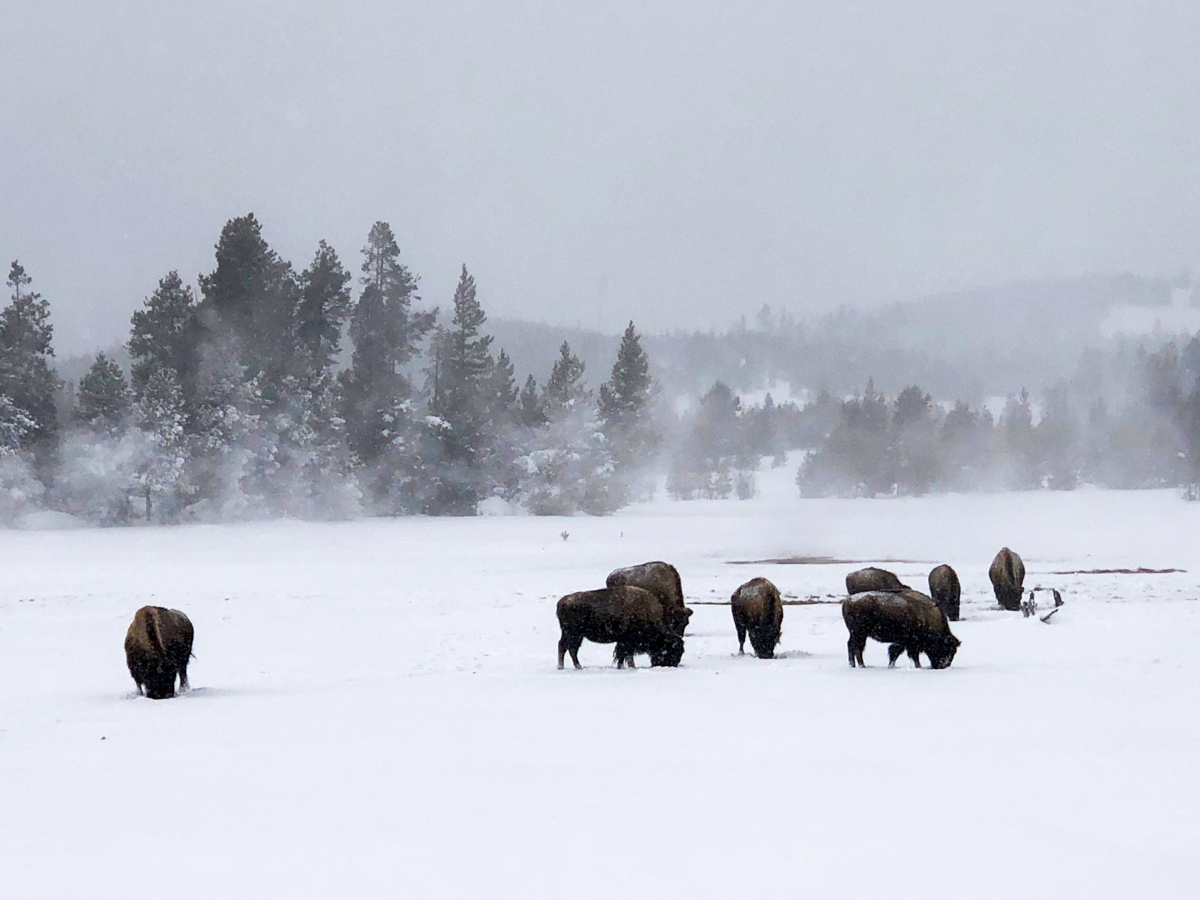 Yellowstone snow GeyserBasin bison seen along snowshoe adventure tour Yellowstone National Park USA