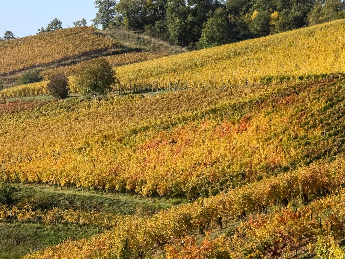 Turckheim vineyard exploring wine route Alsace France