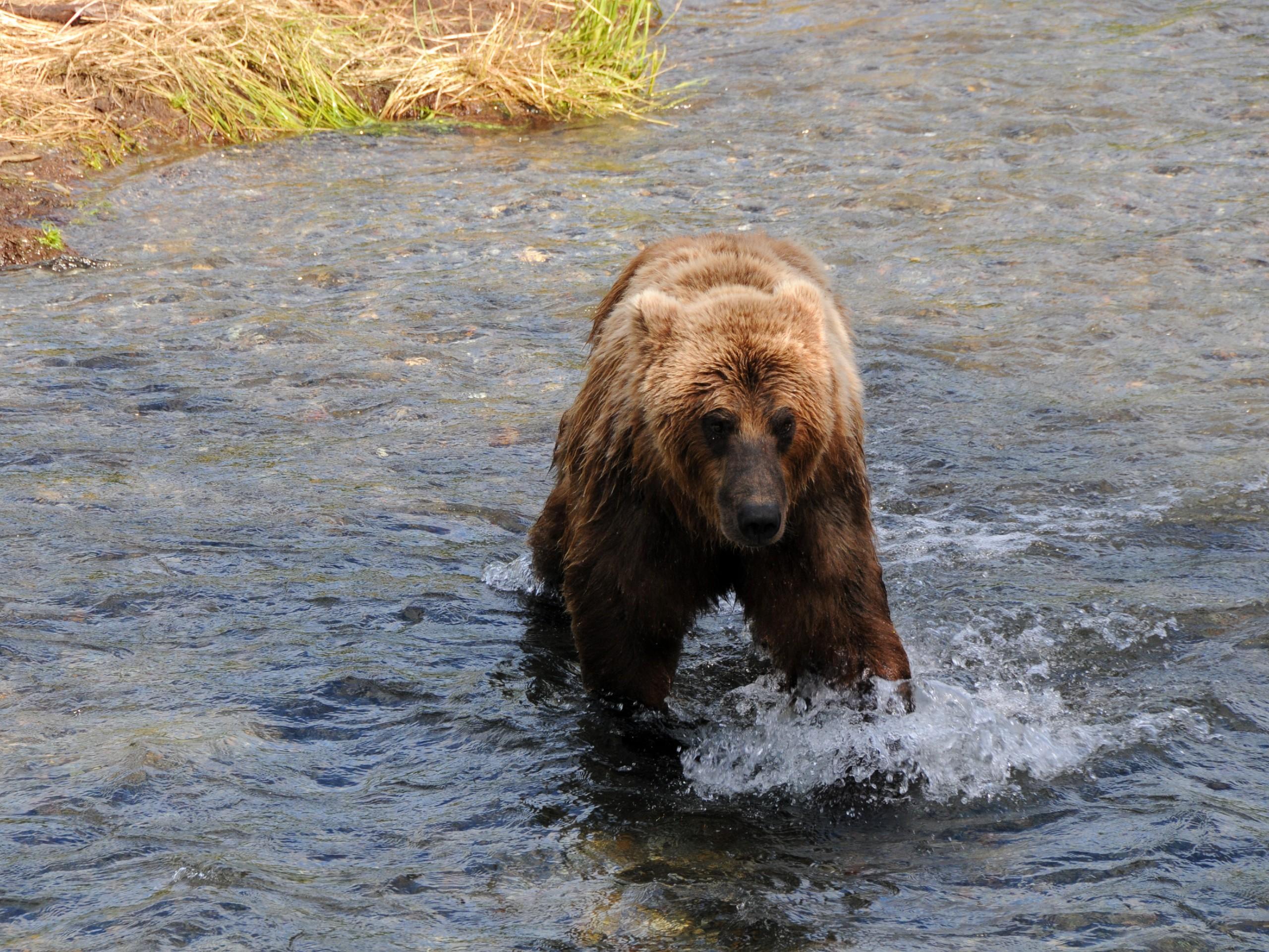 Brown Bear at Katmai in Alaska