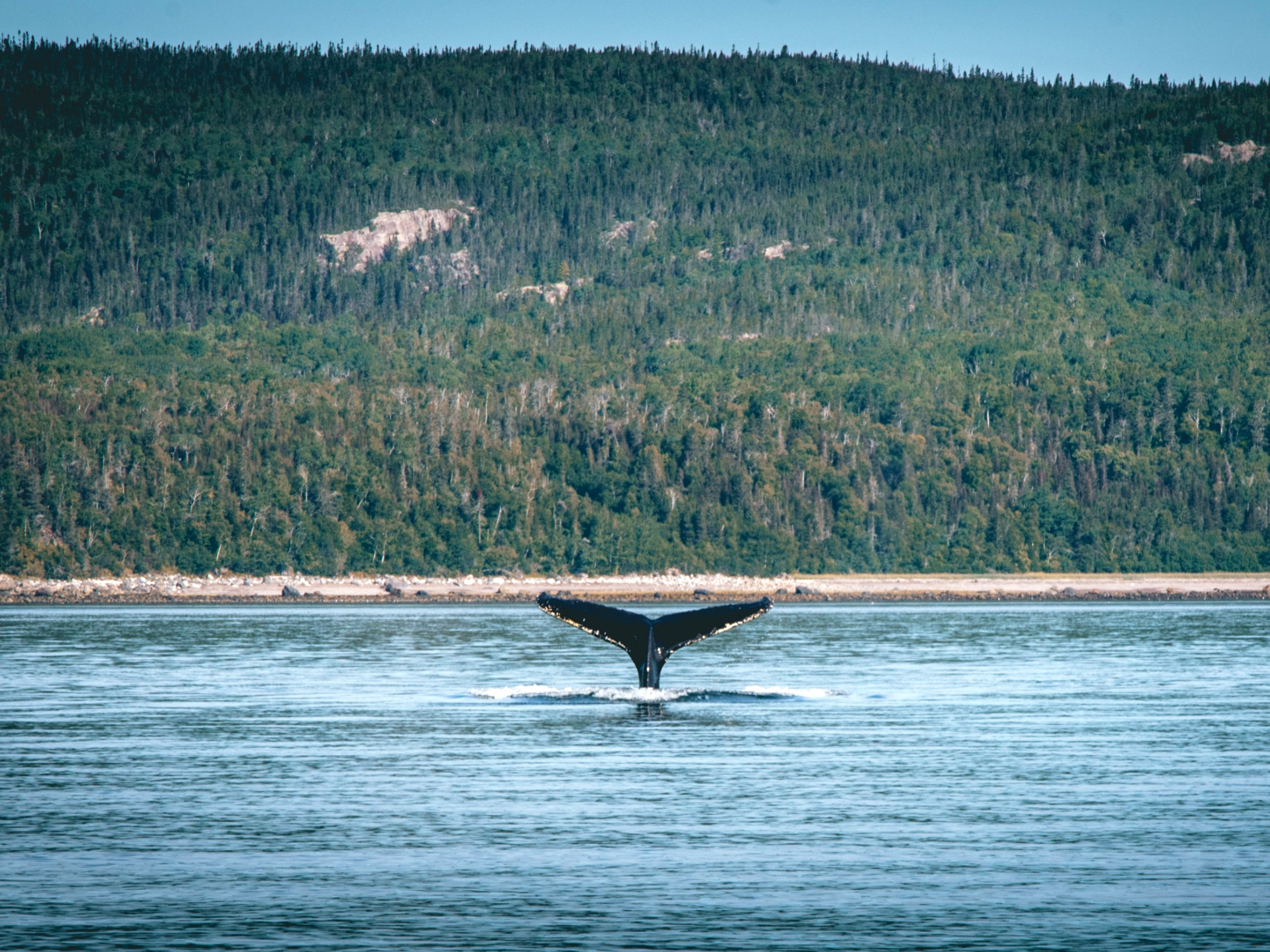 Whale at Tadoussac (Quebec)