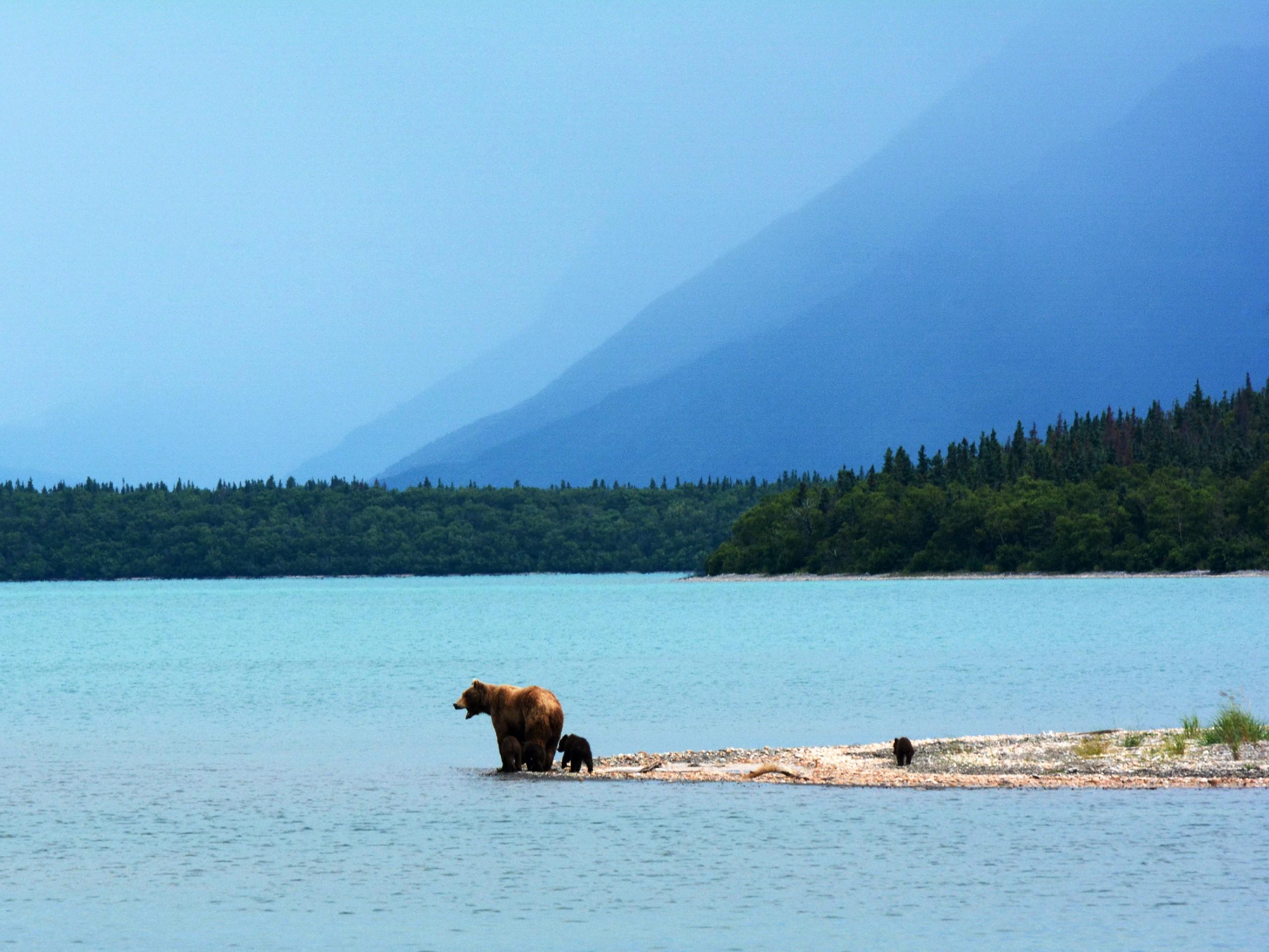 Family of brown bears at Katmai National Park