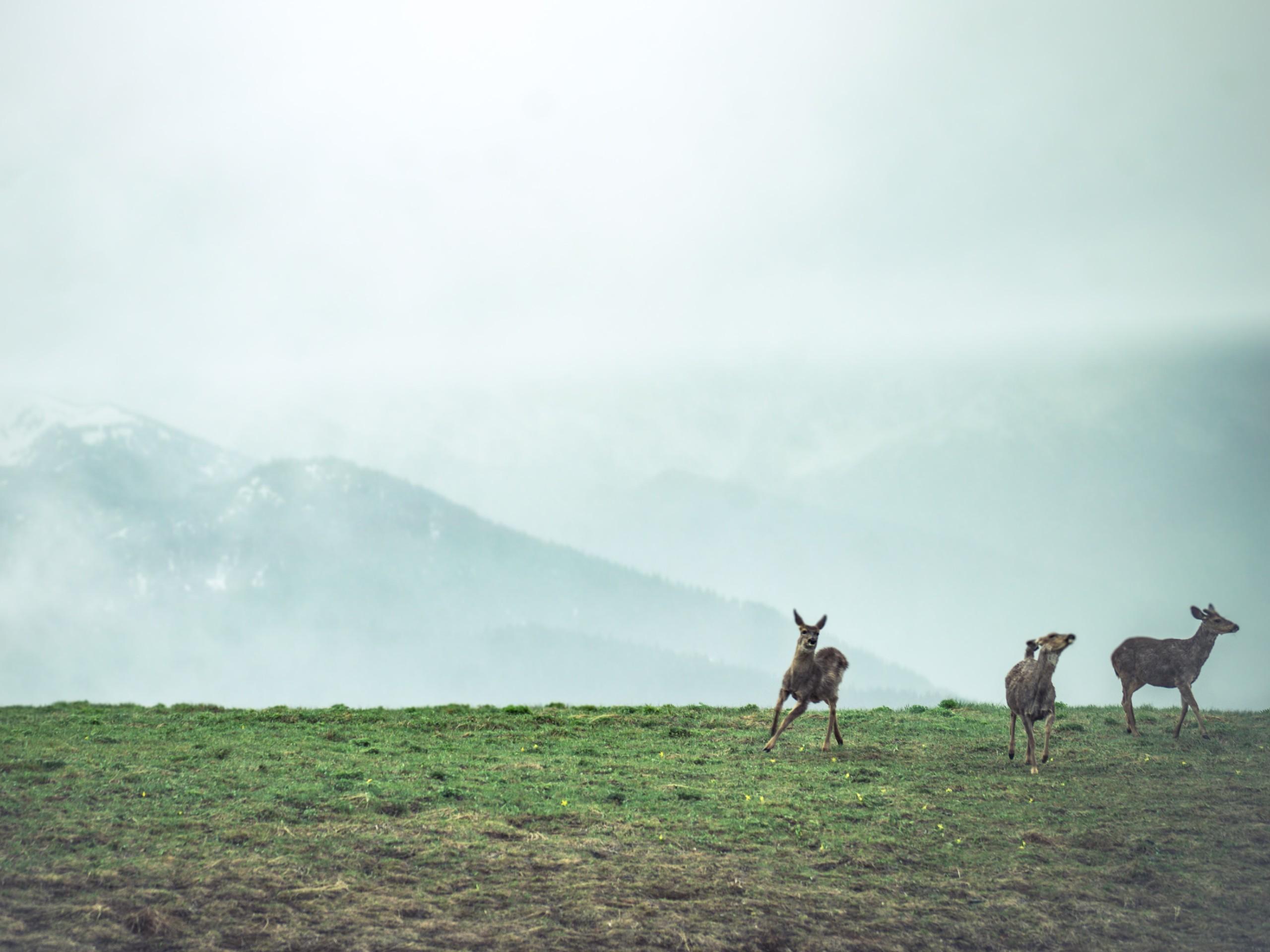 Three deer Port Angeles (olympic national park)