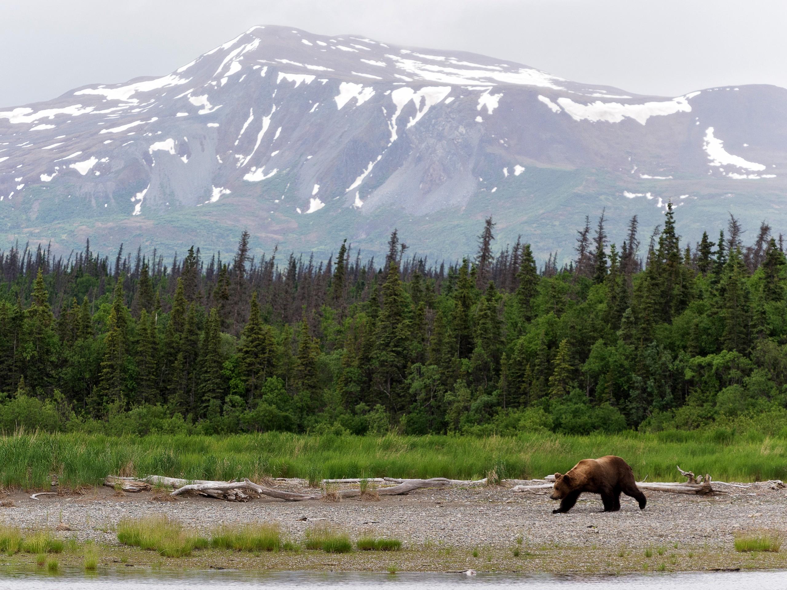 Katmai NP bears