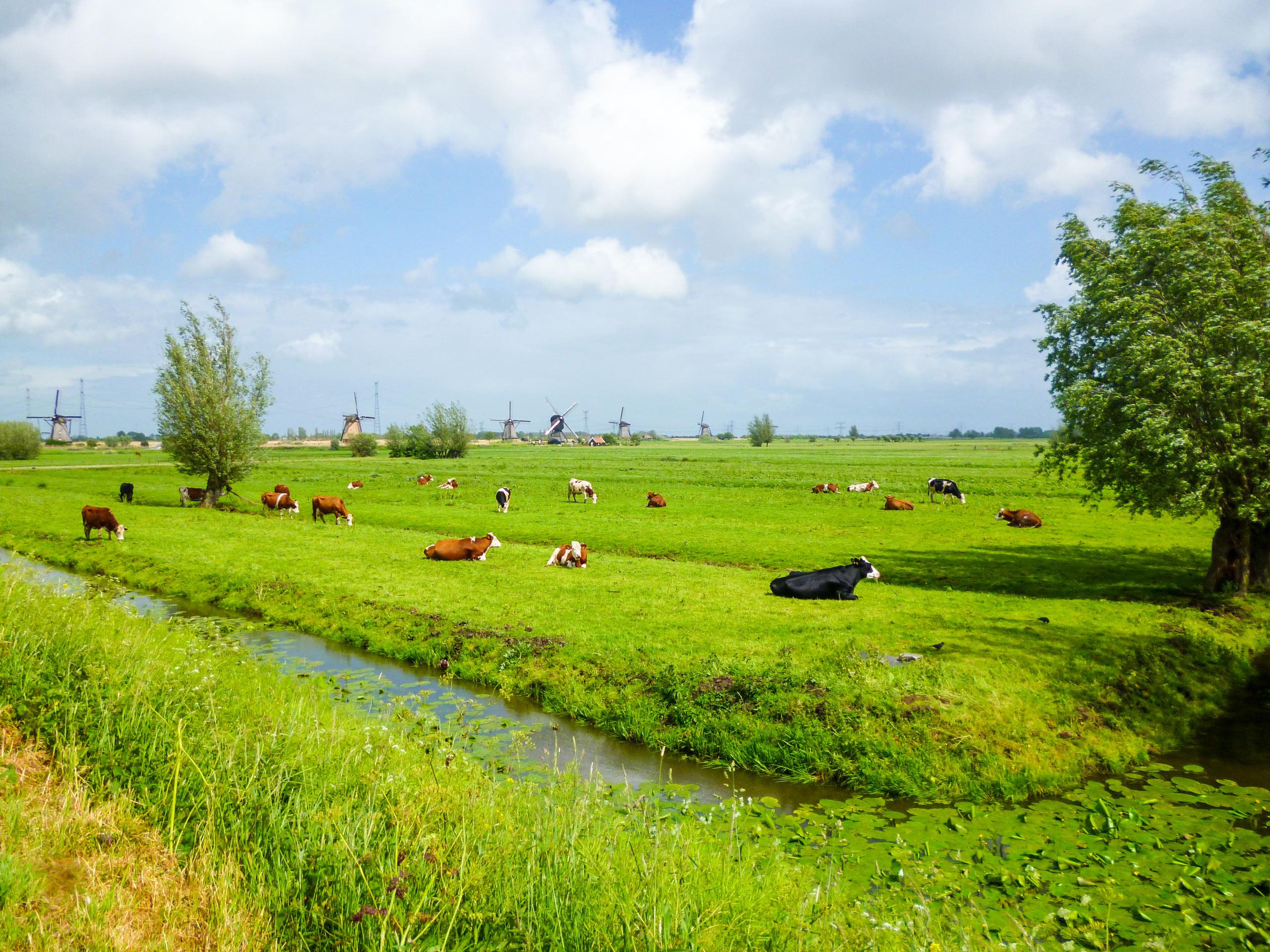 Herd of cows in the field