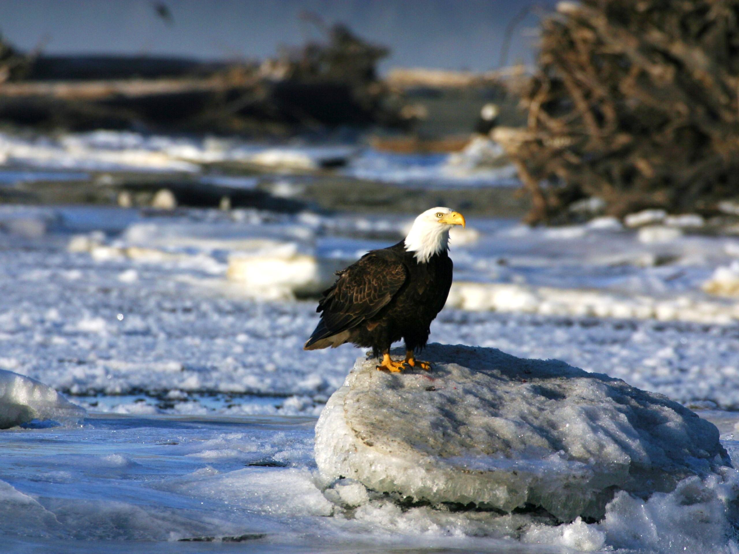 Bald eagle in Yukon