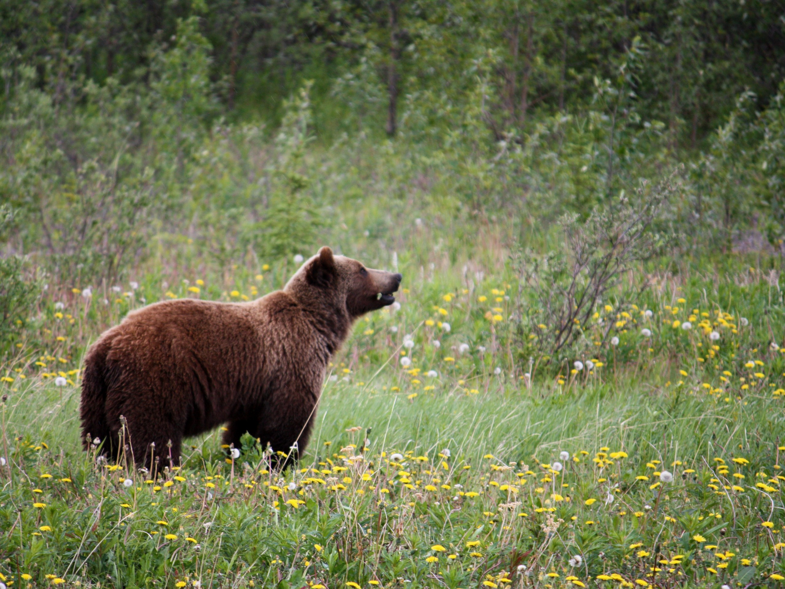 Grizzly at Haines Junction in Yukon