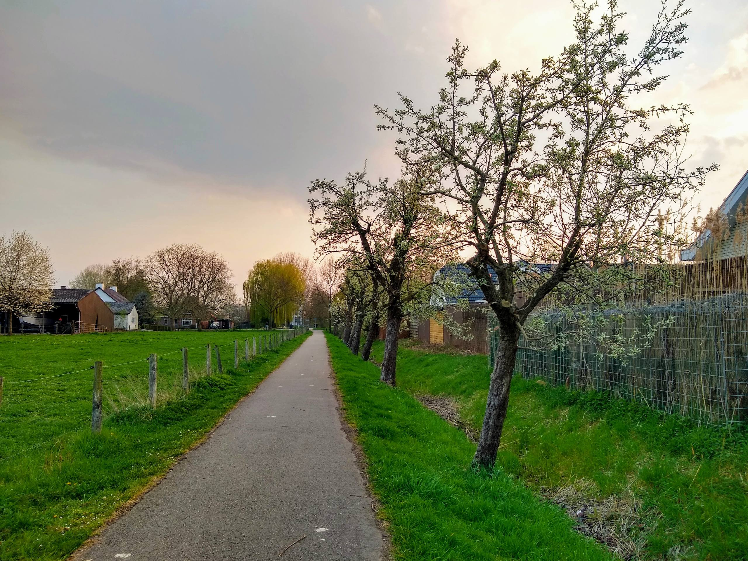 Pear trees along the biking path
