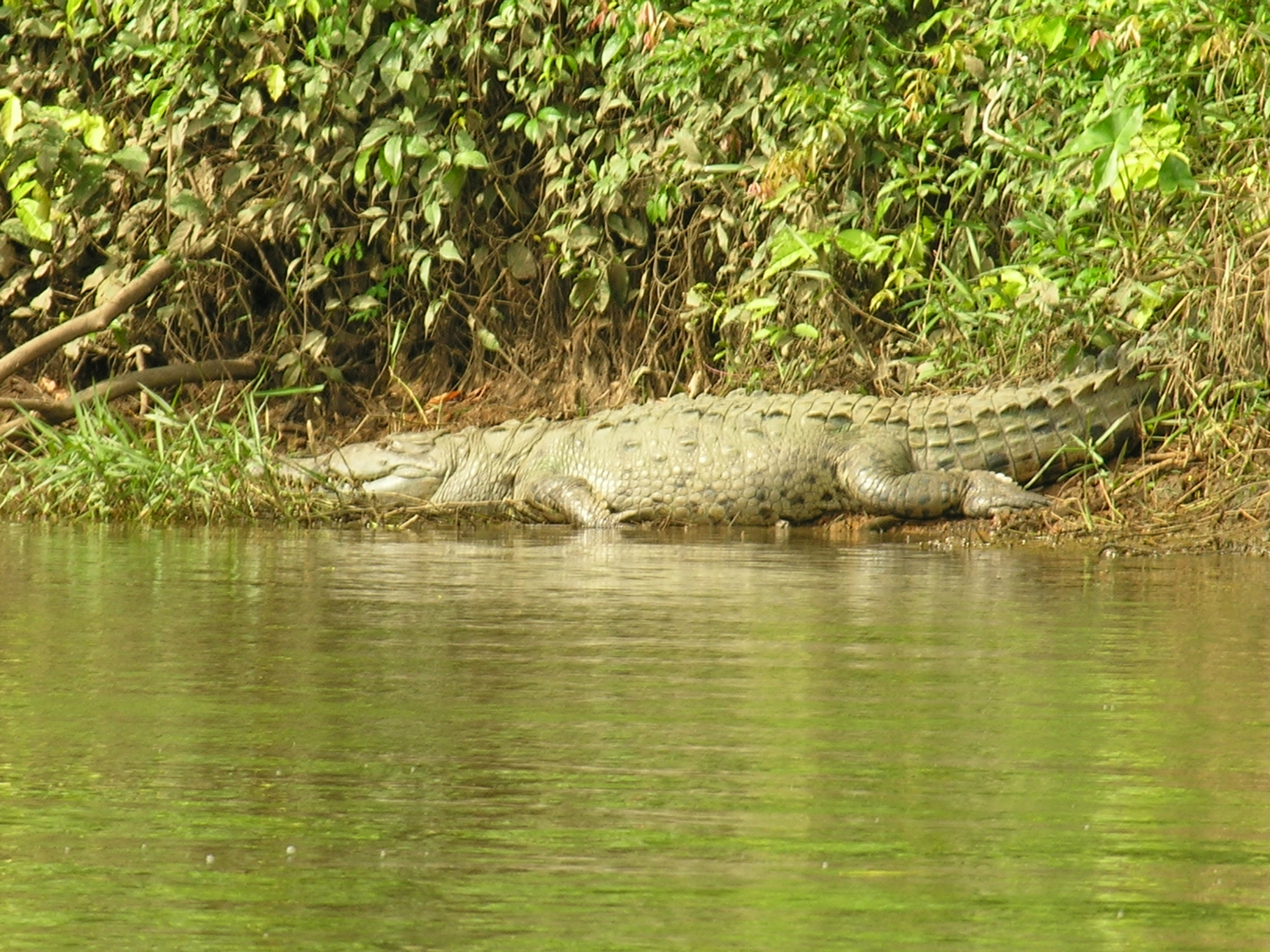 Crocodile seen in Nicaragua