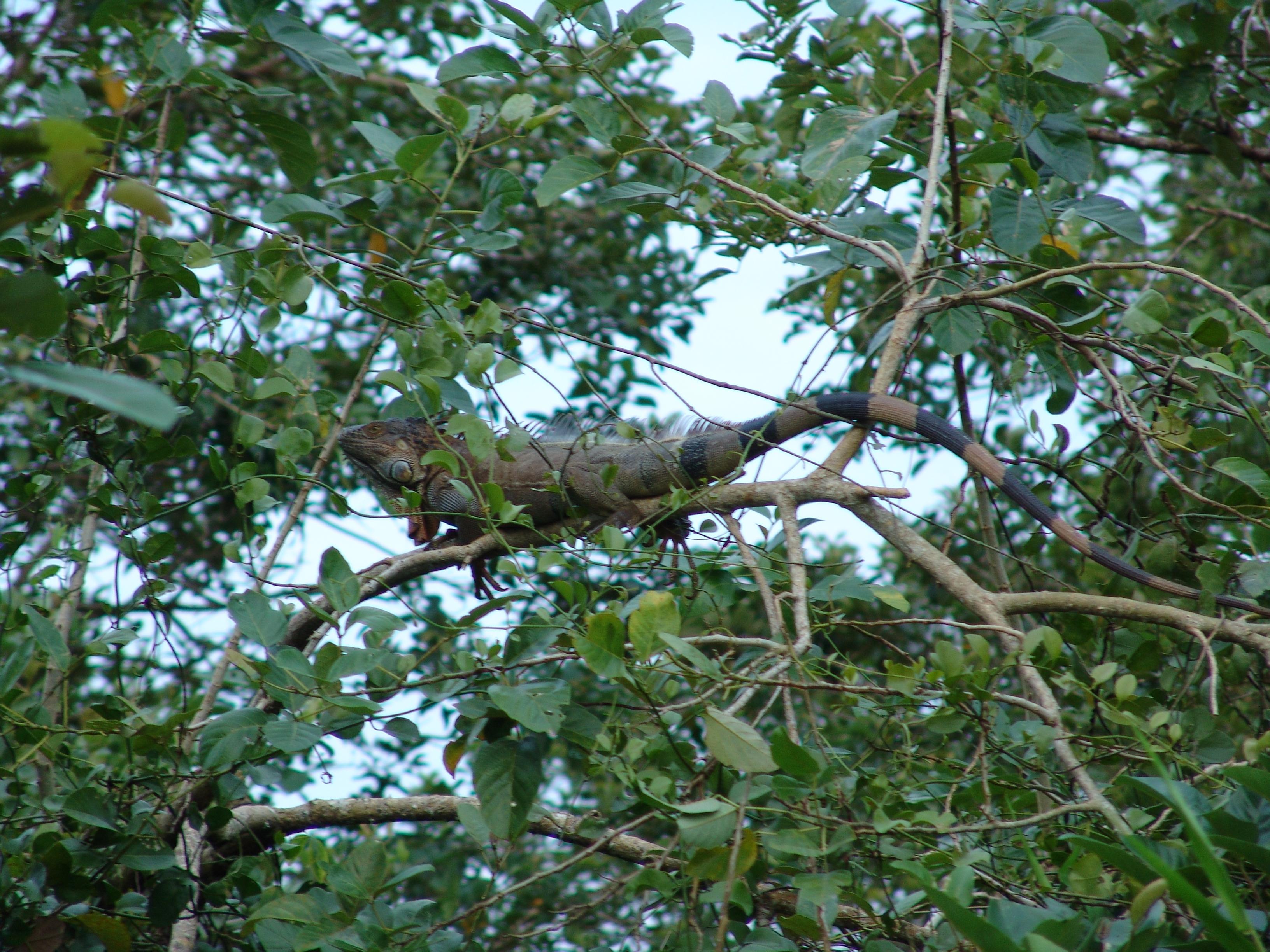 Iguana in the tree (Nicaragua)