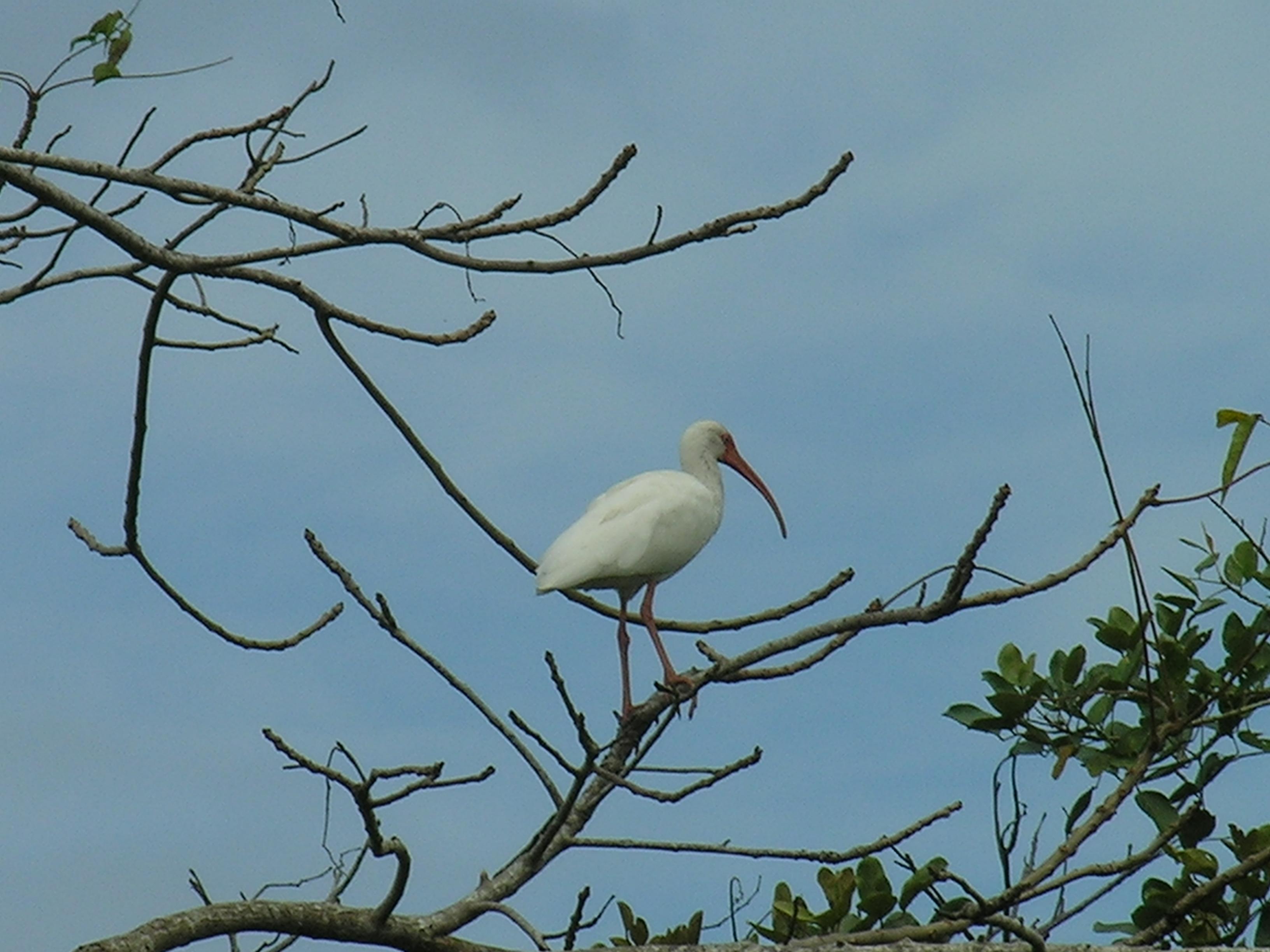 White birt in Nicaragua