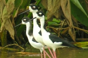 10-Day Nicaragua Birdwatching Expedition